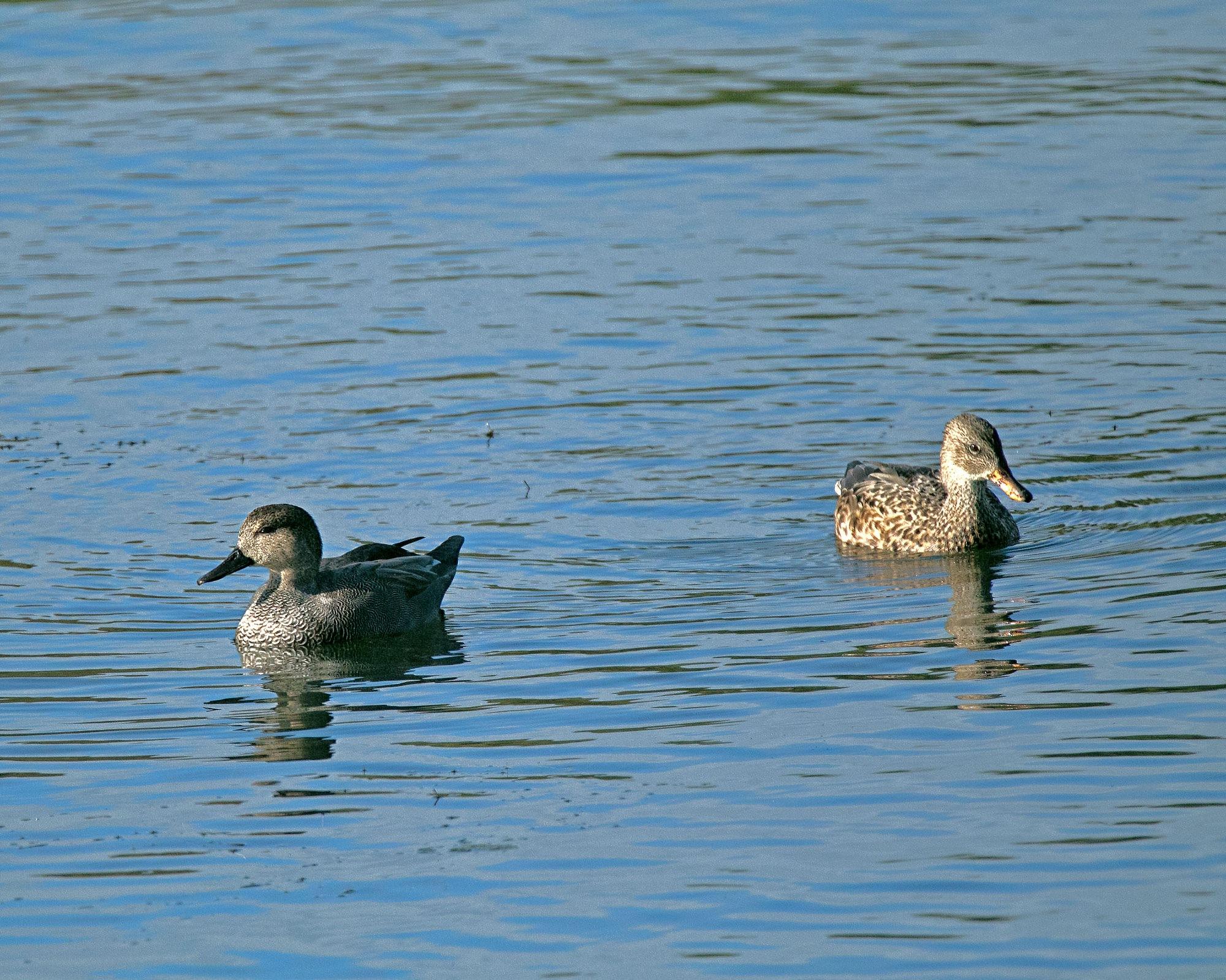 Ducks by Karen