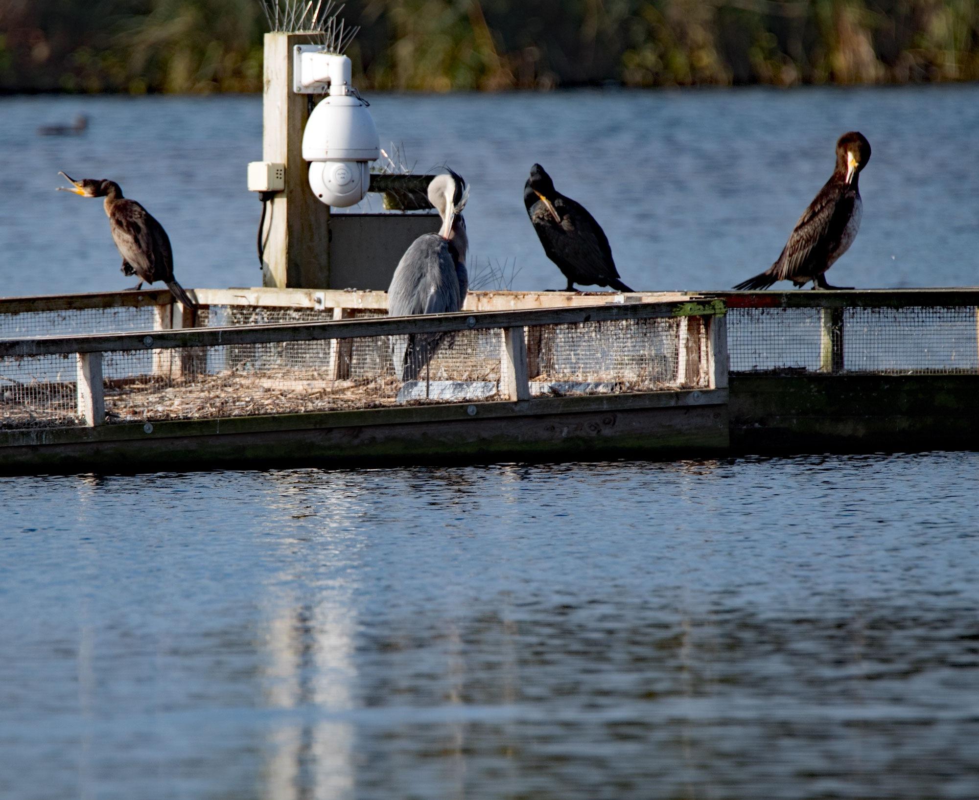 Cormorants & Grey Heron by Karen