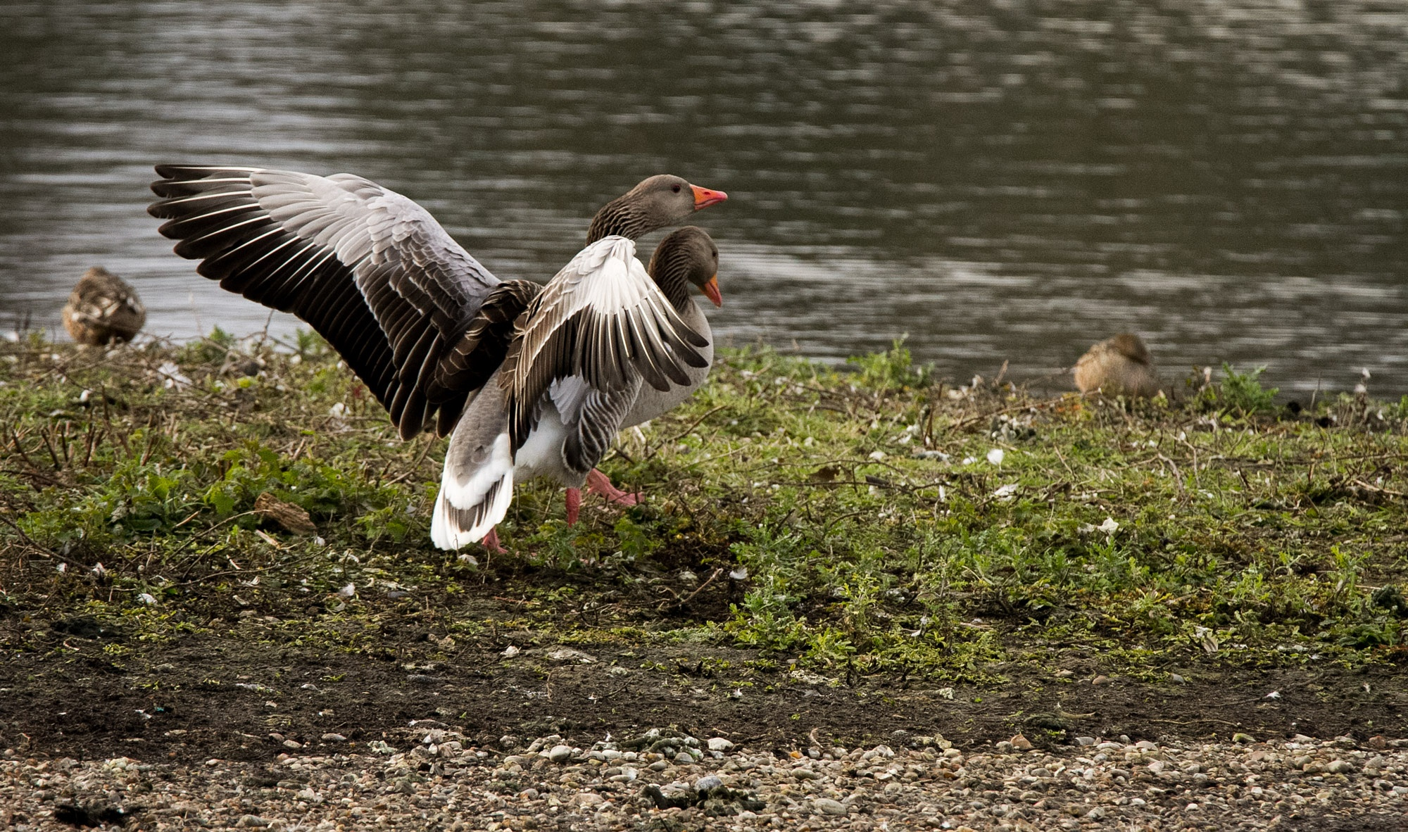 Greylag Geese Amwell Nature Reserve by Karen