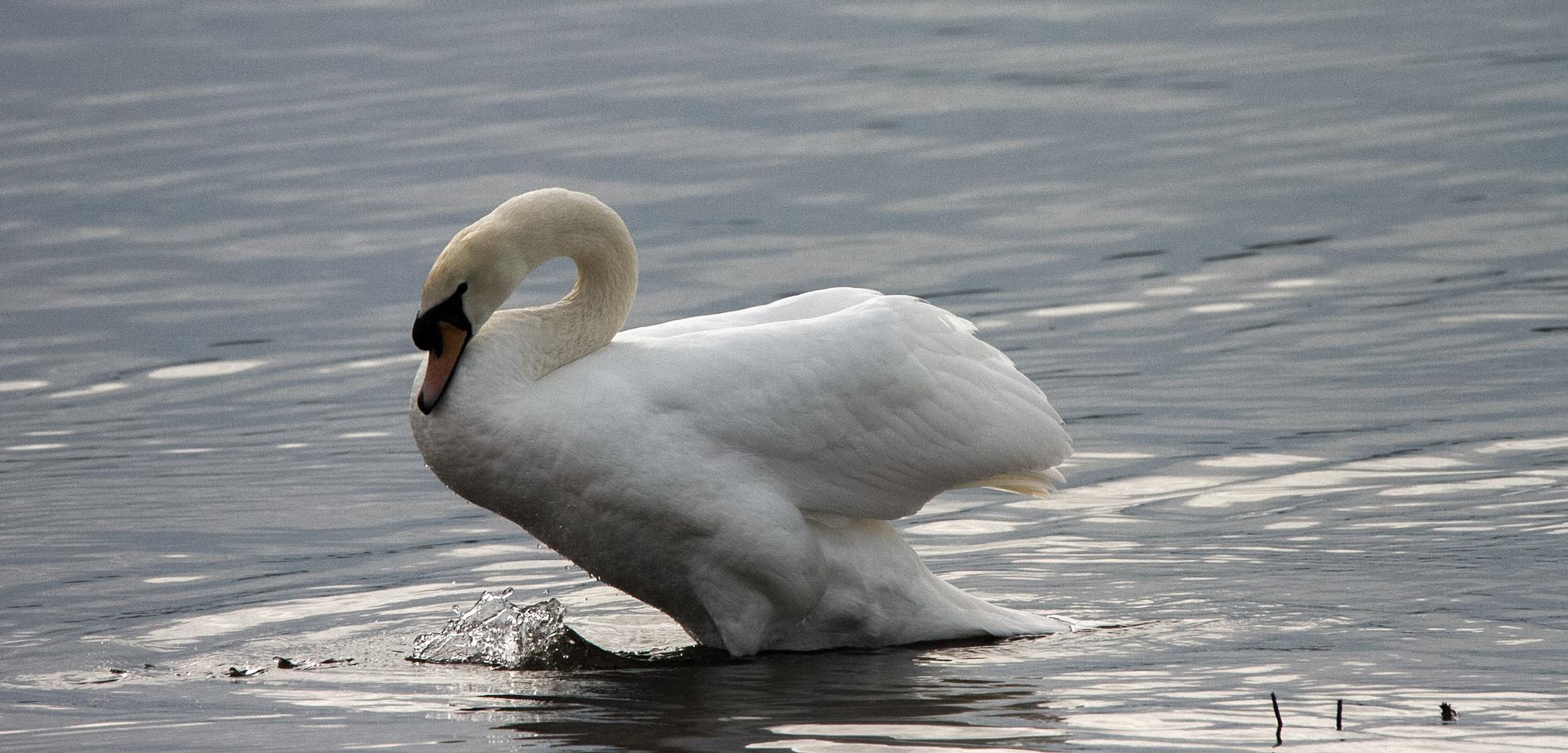 Swan by Karen