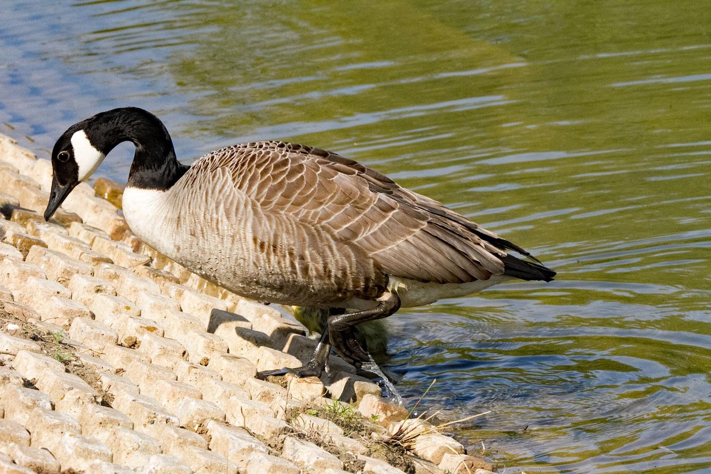 Mummy Canadian Goose by Karen
