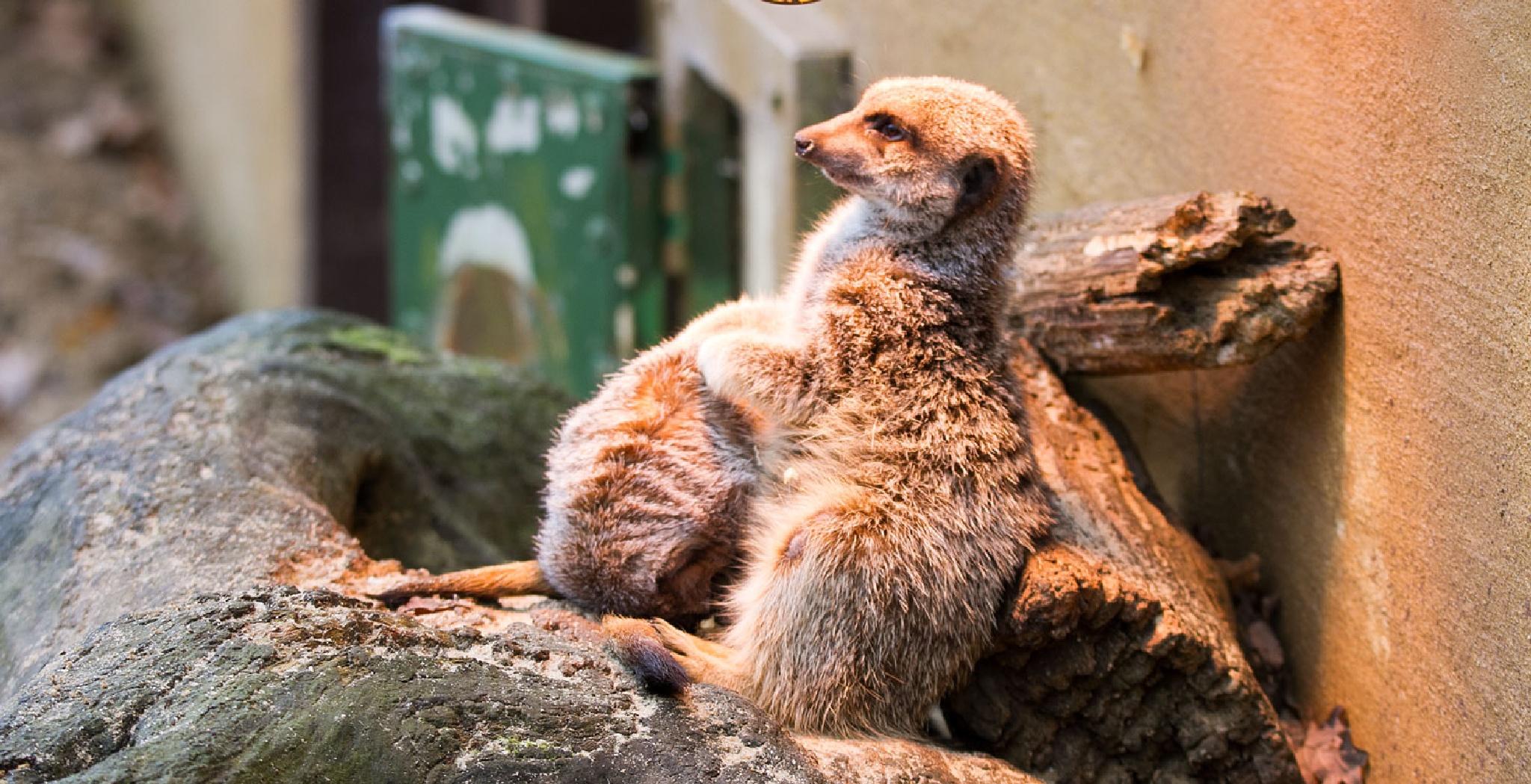Meerkats Keeping Warm by Karen