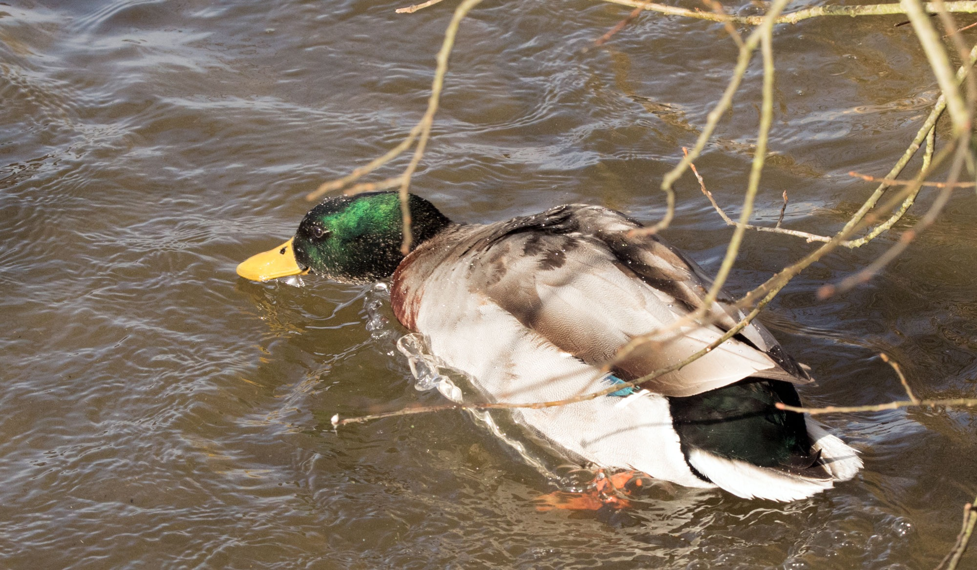 Duck by Karen