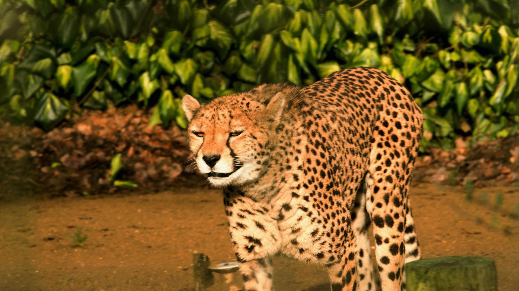 Cheetah by Karen