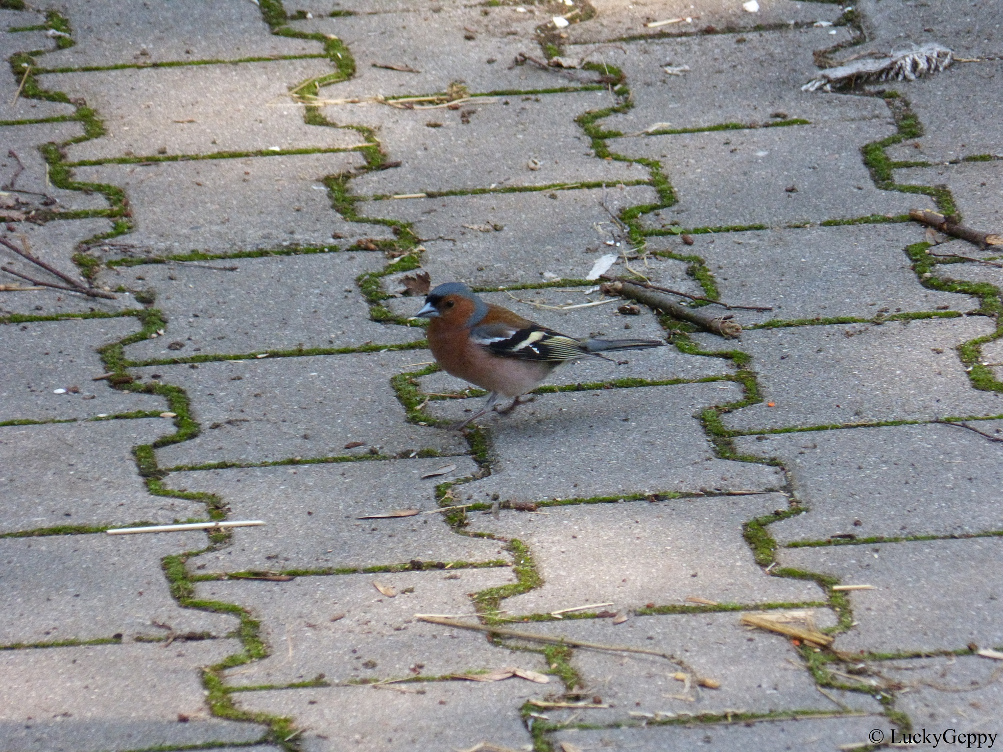 chaffinch by LuckyGeppy