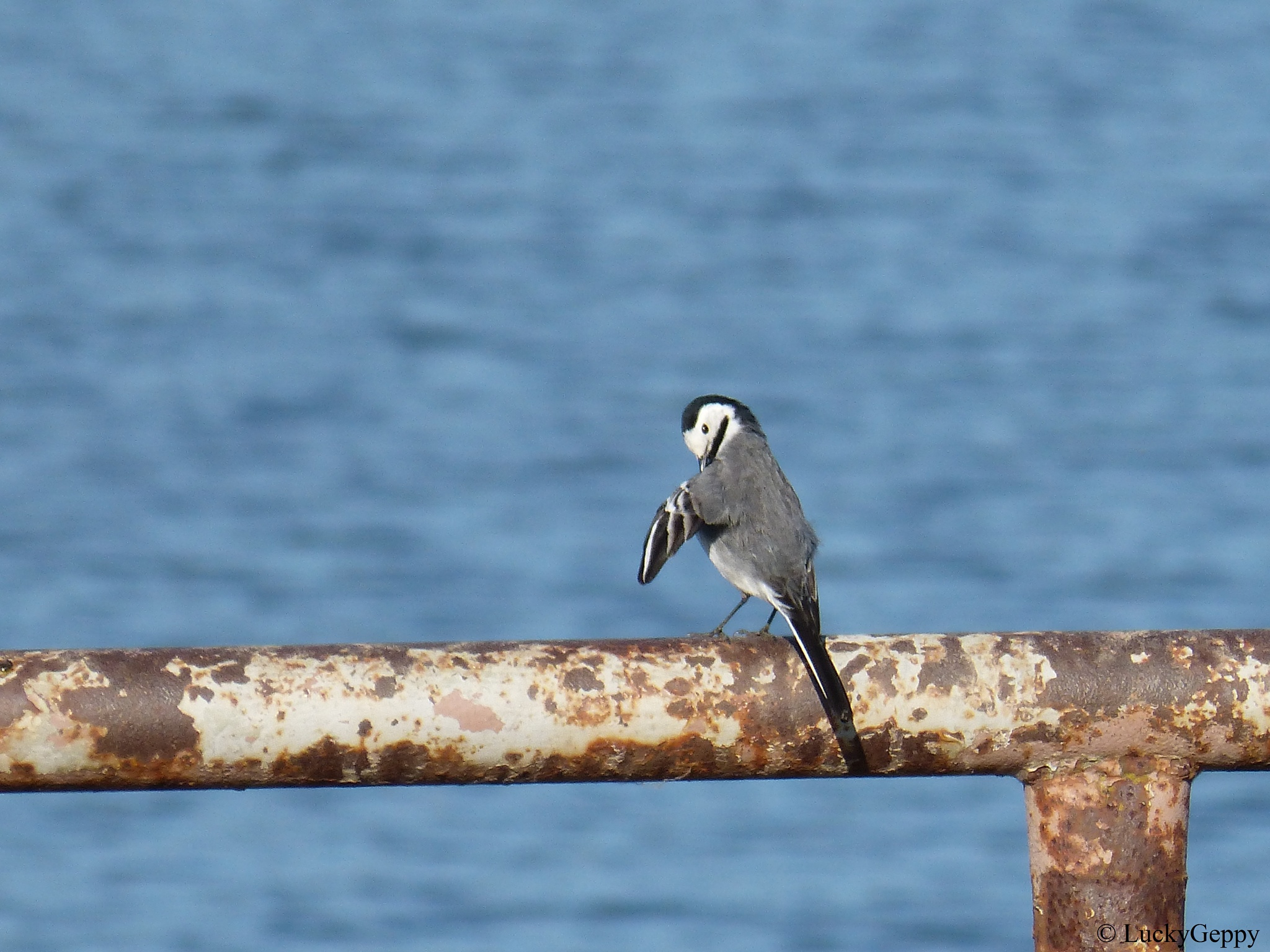 wagtail by LuckyGeppy