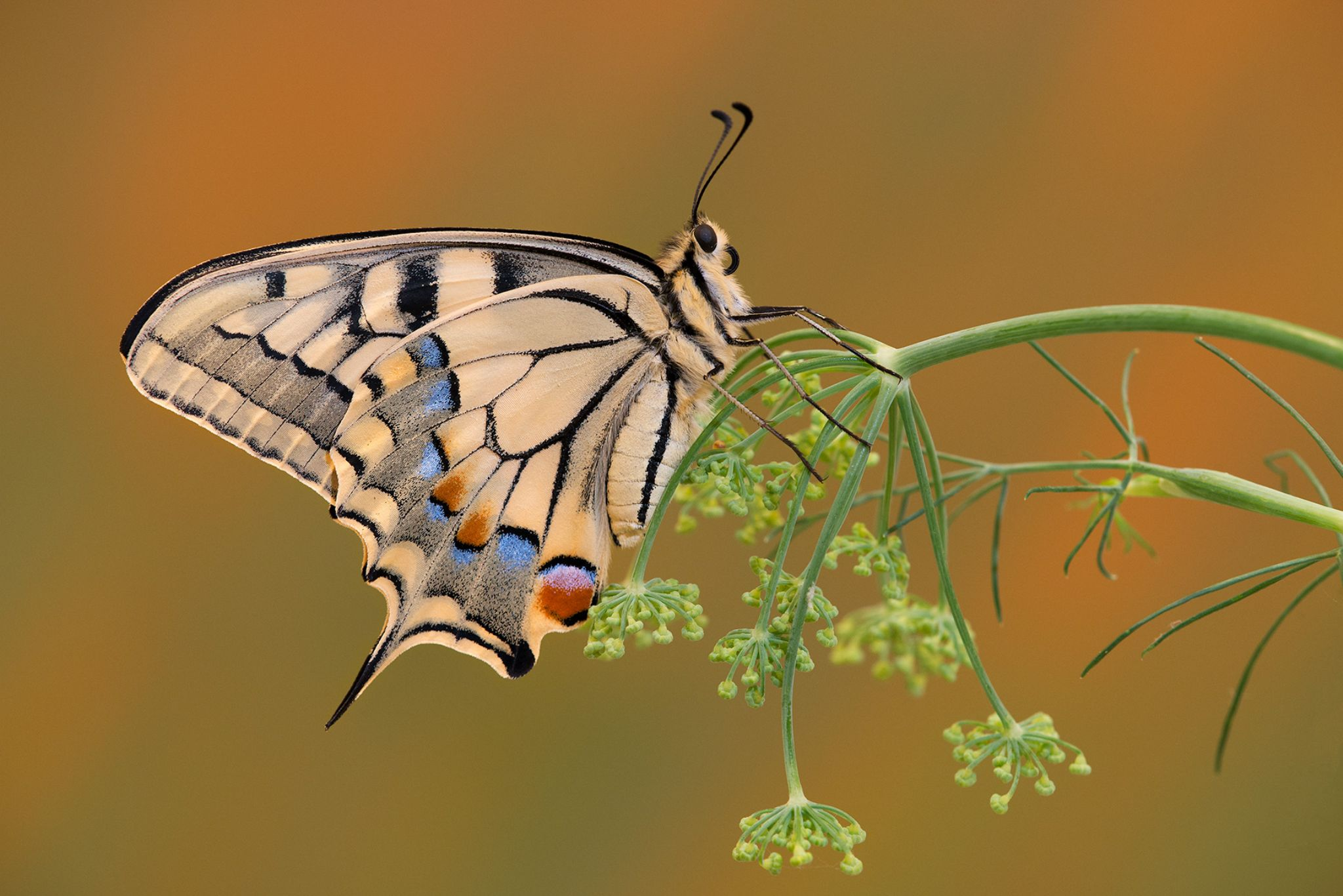 Papilio Machaon by aglionisimone