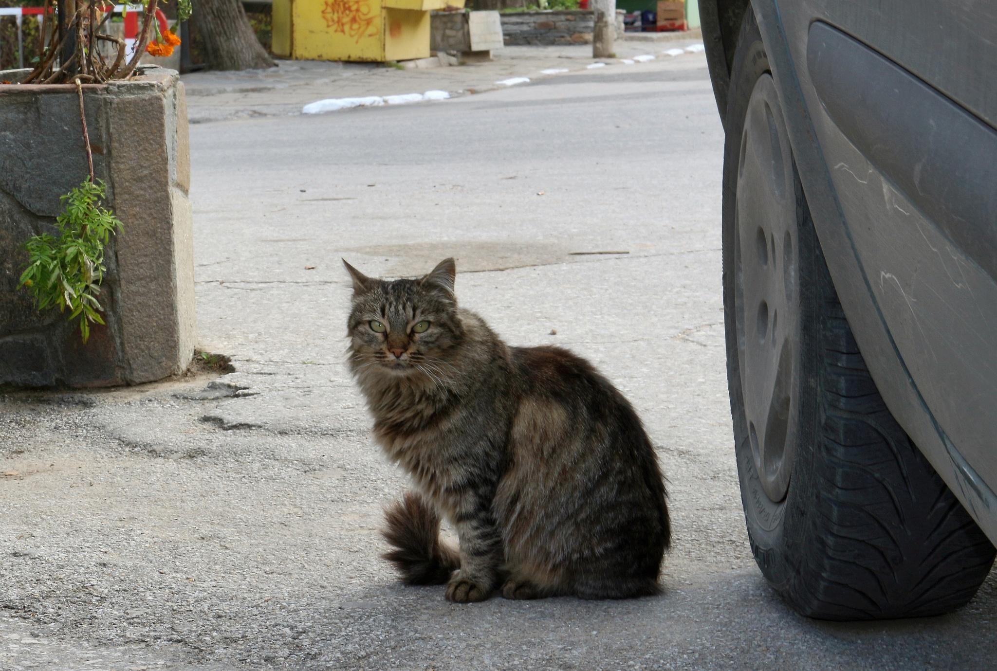 Village cat by Sergey Sokolov