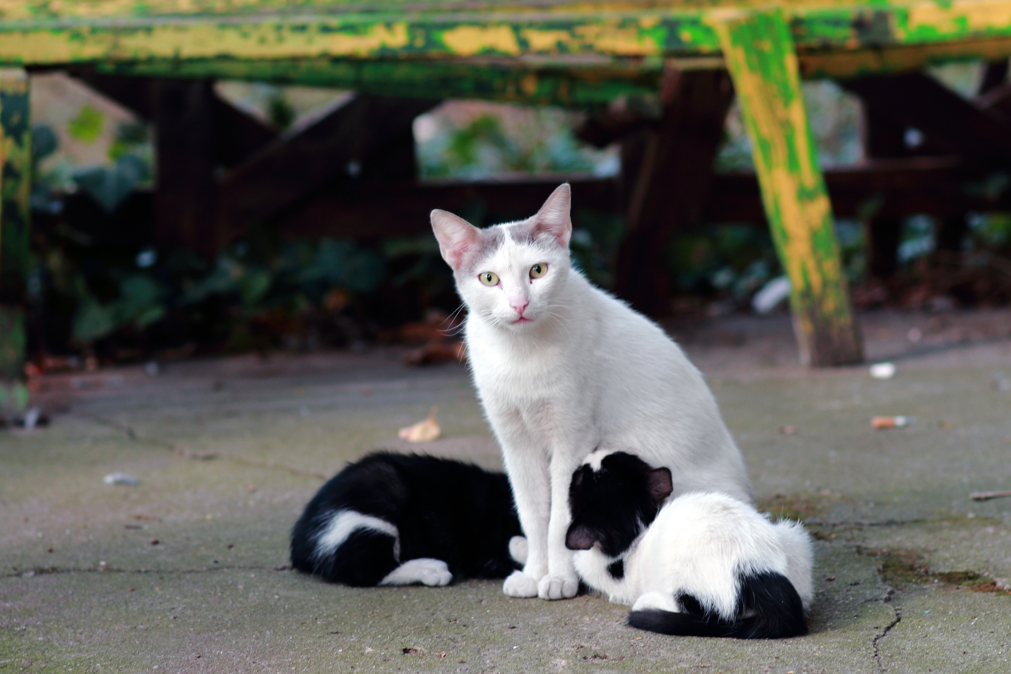 Cats love by Sergey Sokolov
