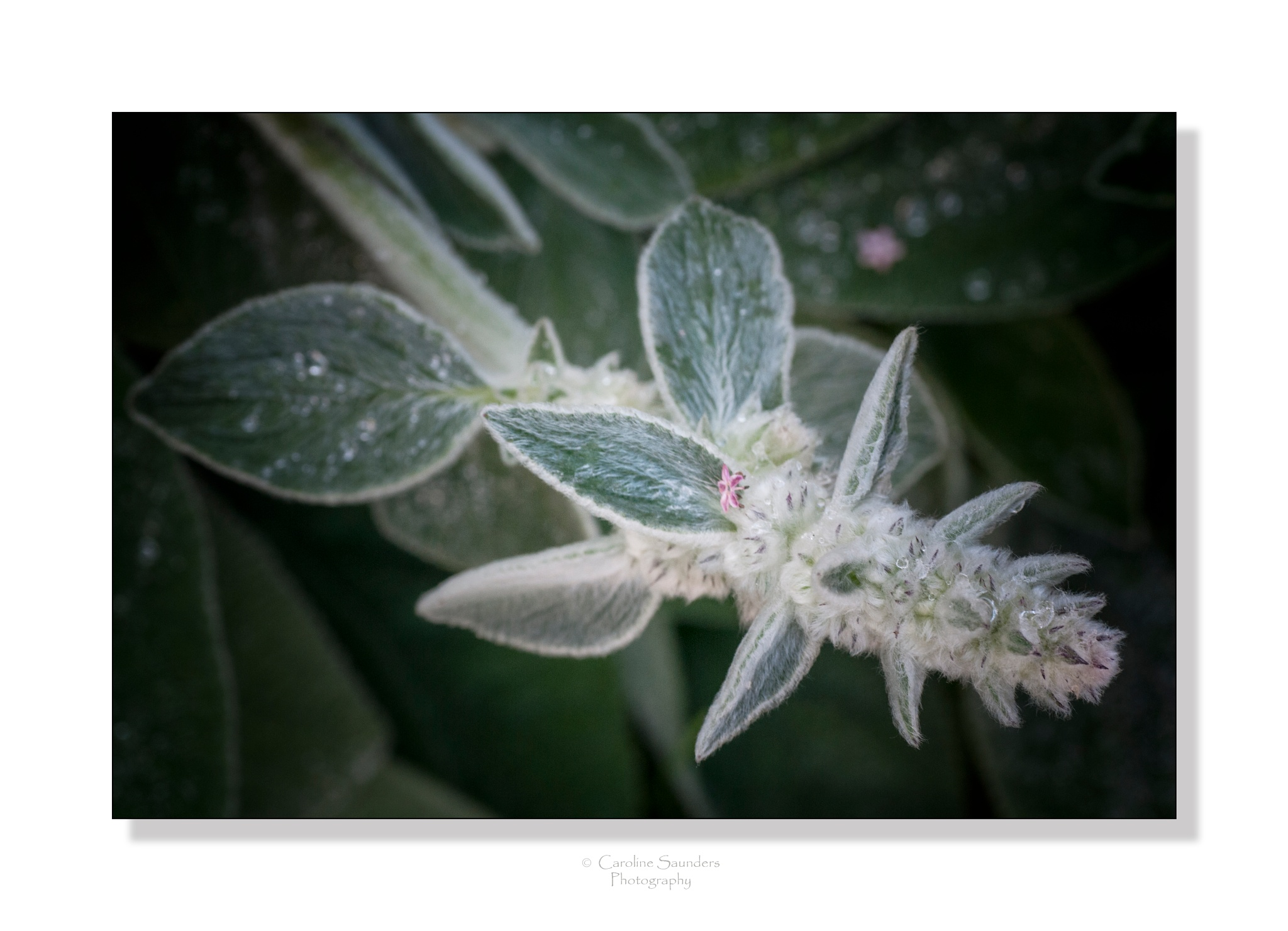 Lambs ear by Cazsaund