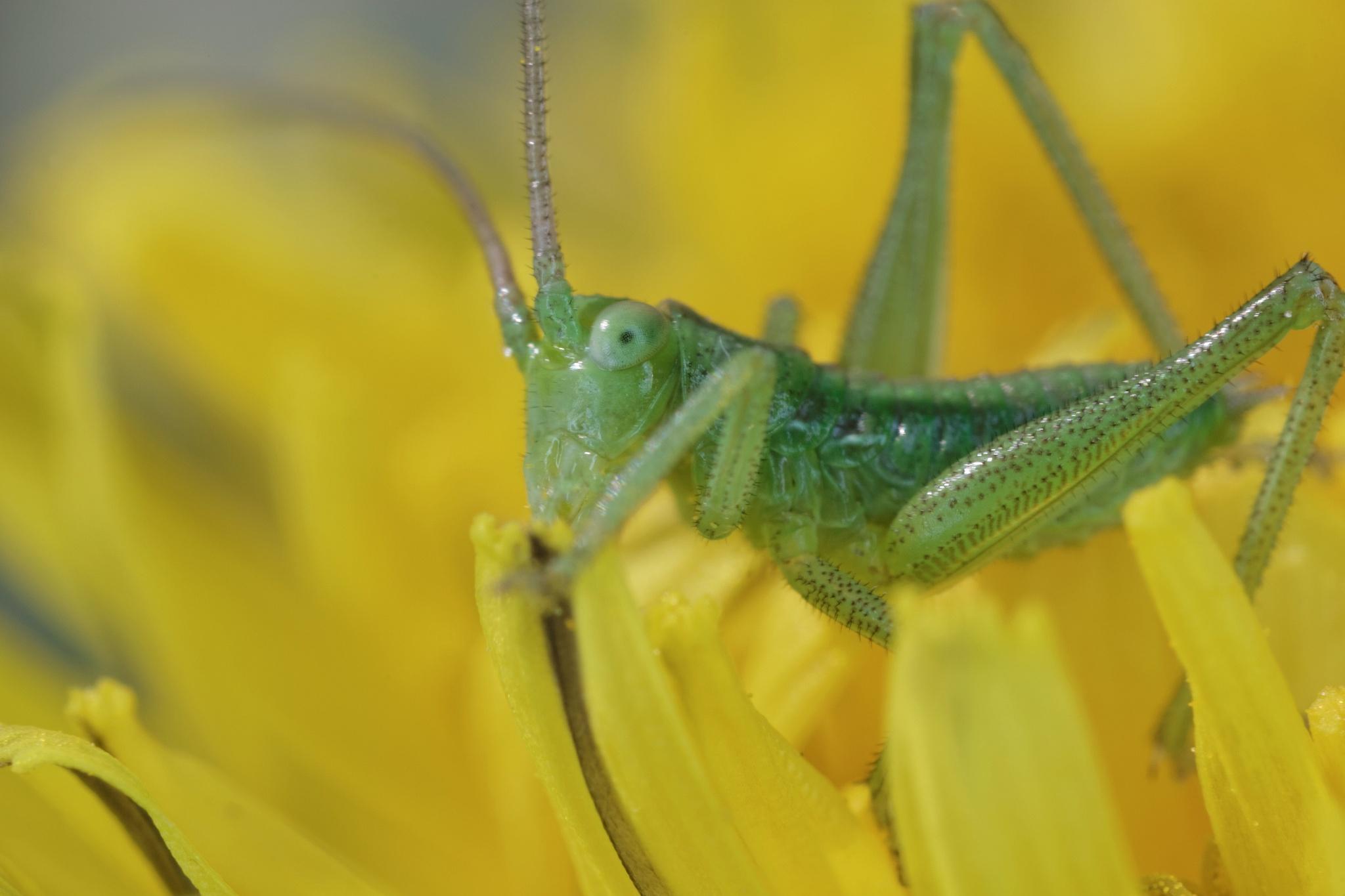 Little grasshopper by jackdaniel