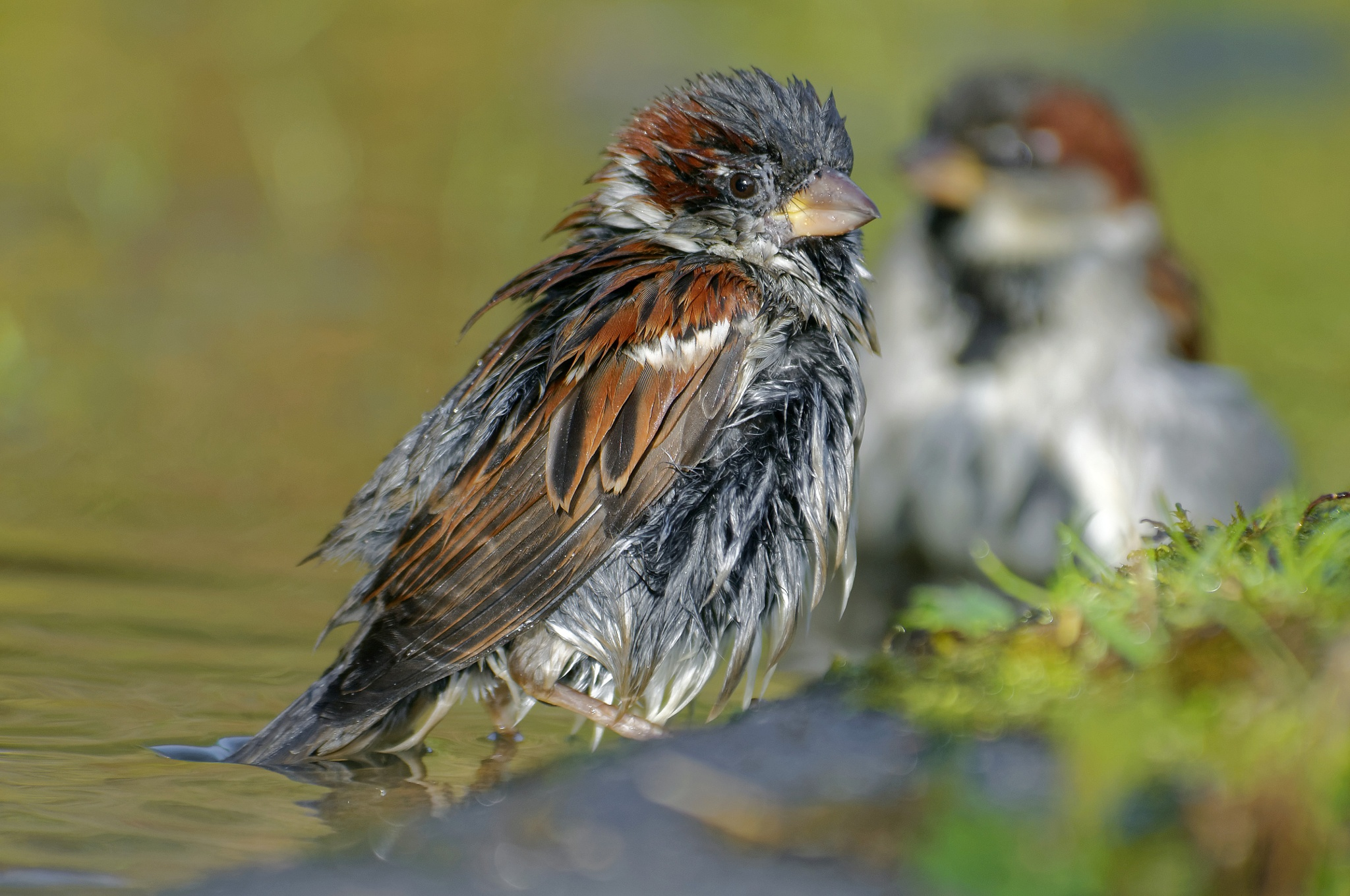 House sparrow-Bathing by jackdaniel