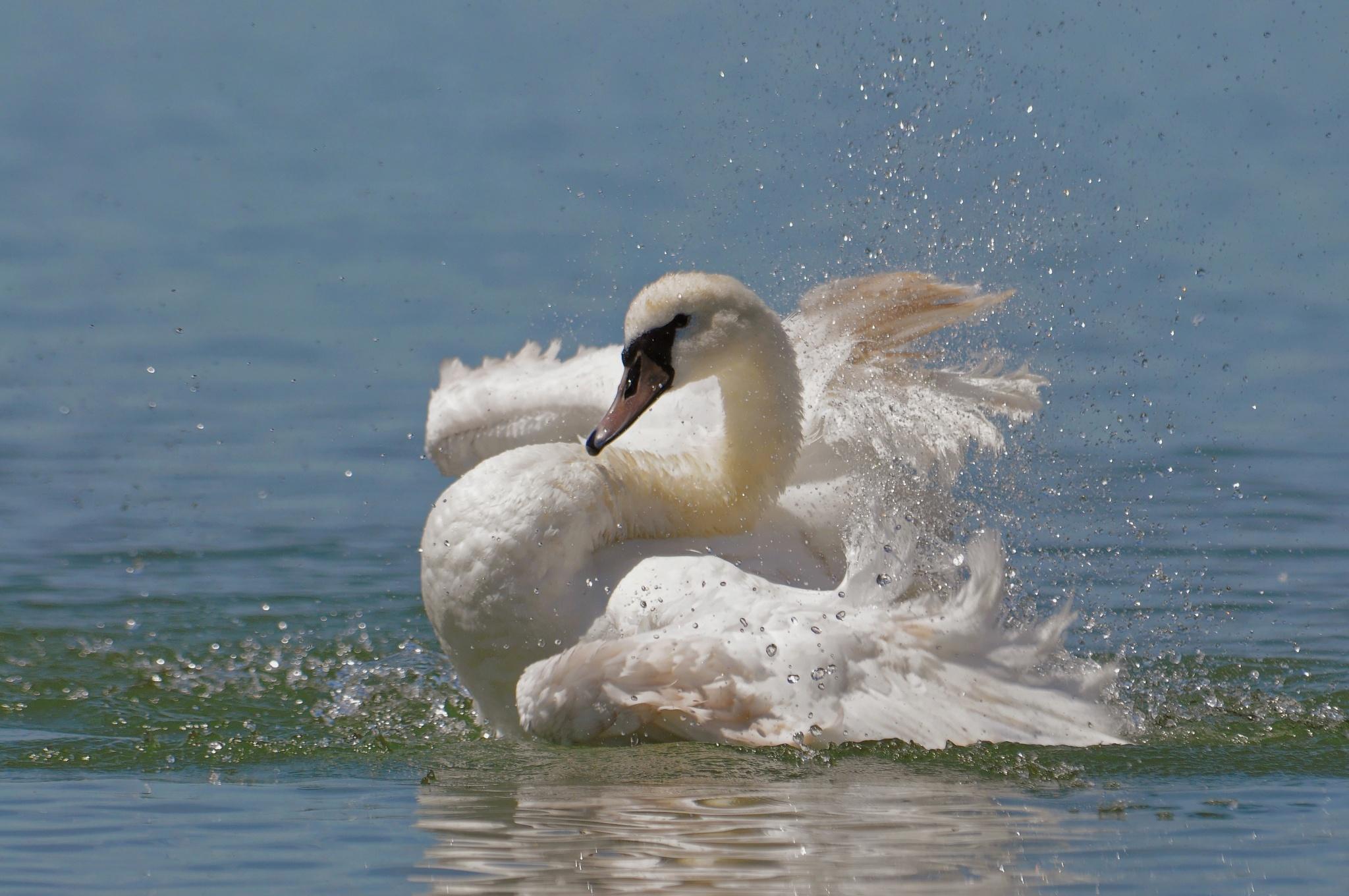 Swan by jackdaniel
