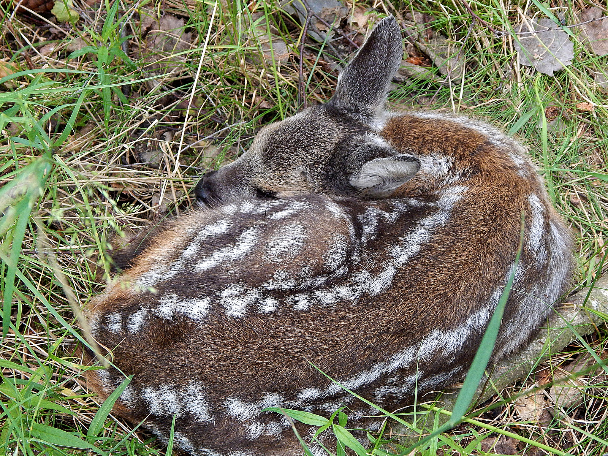 Baby deer by lachim