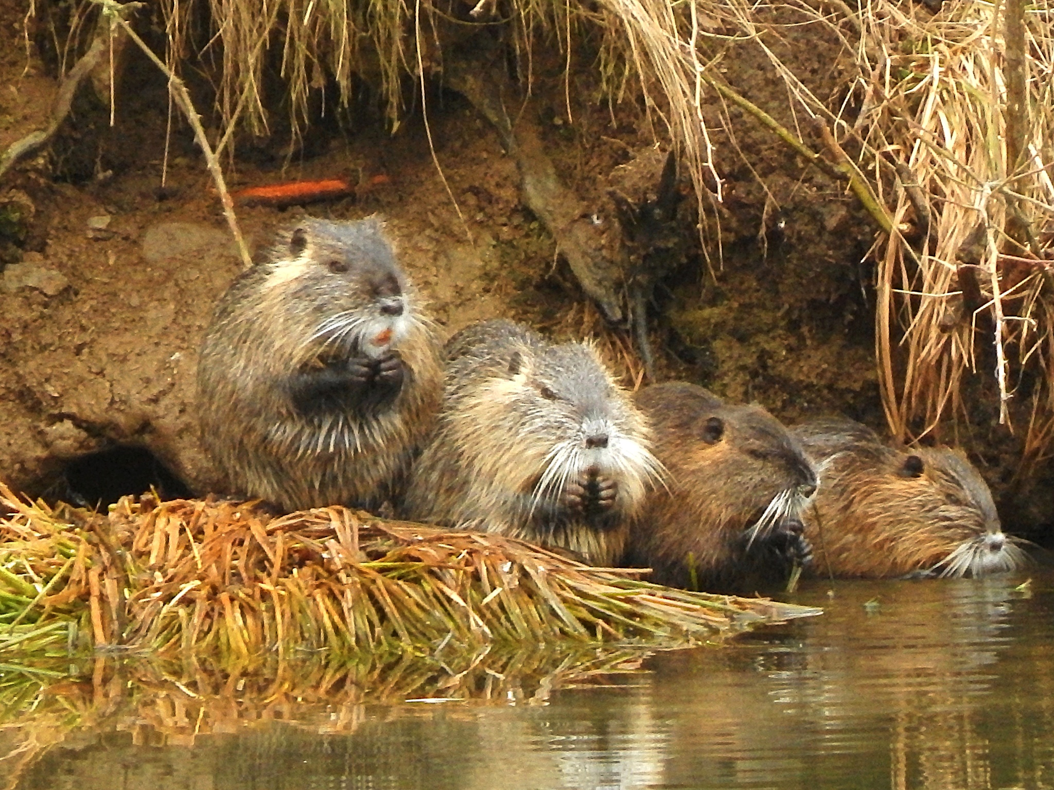 Muskrat family by lachim