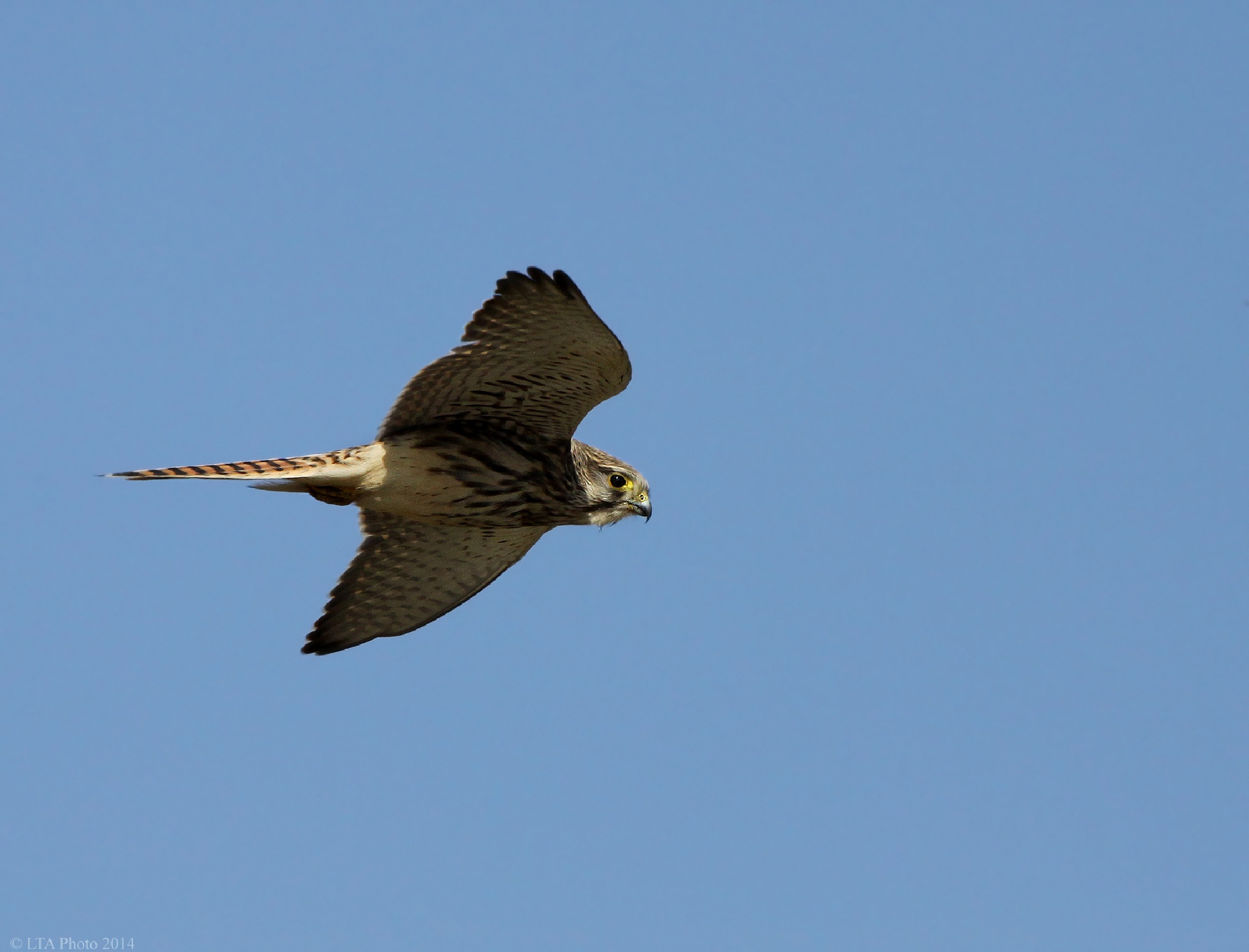 Common Kestrel female by Ltaphoto