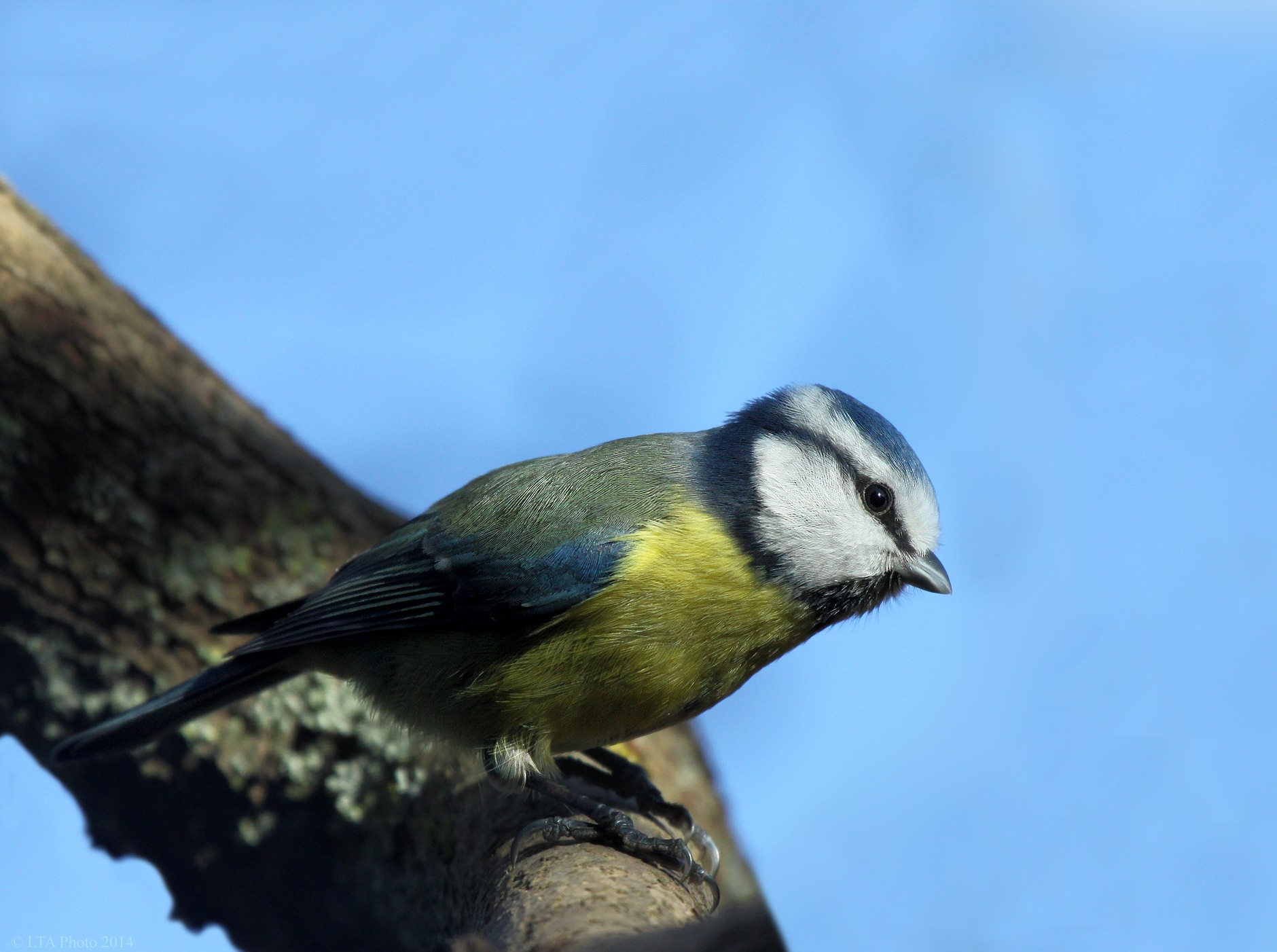 Blue Tit, portrait by Ltaphoto