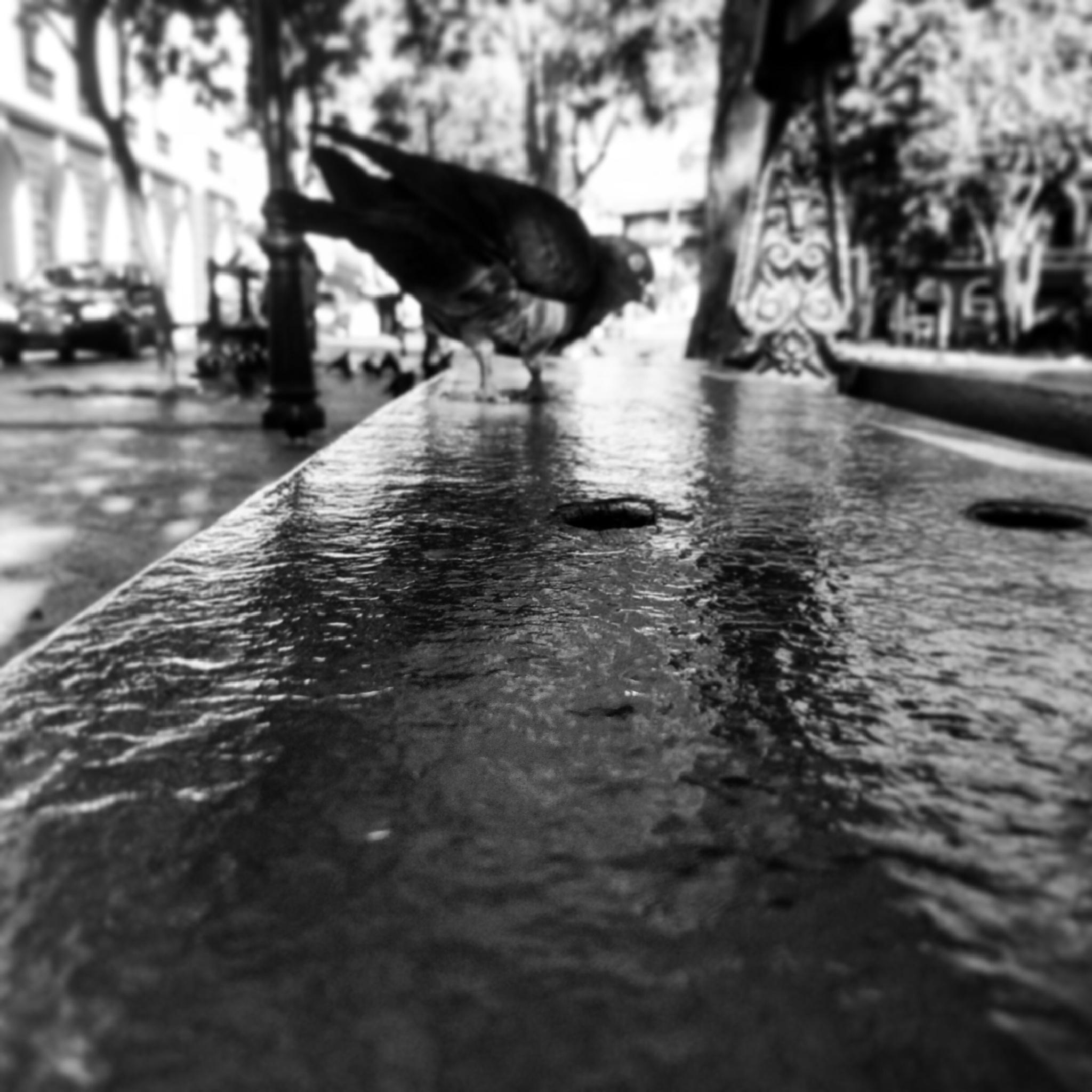 Pigeon on bench by Nilda64pr