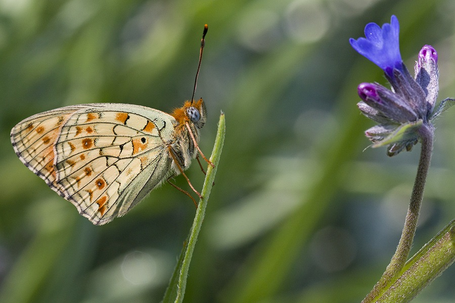 Nymphalidae / Niyobe / / Argynnis niobe by NAMIK KEMAL KORTAN