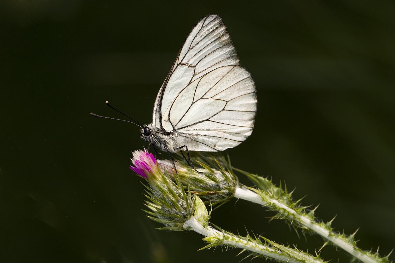 Black-veined White  --- Alıç Kelebeği by NAMIK KEMAL KORTAN