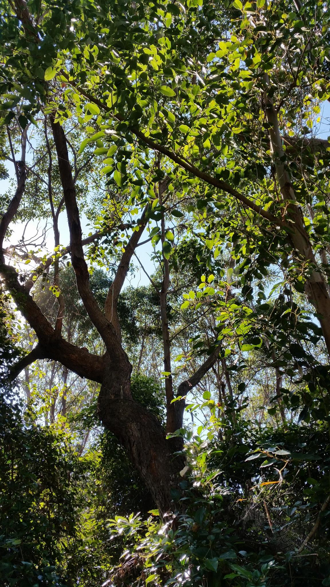 Australian Forest by Graham Levi