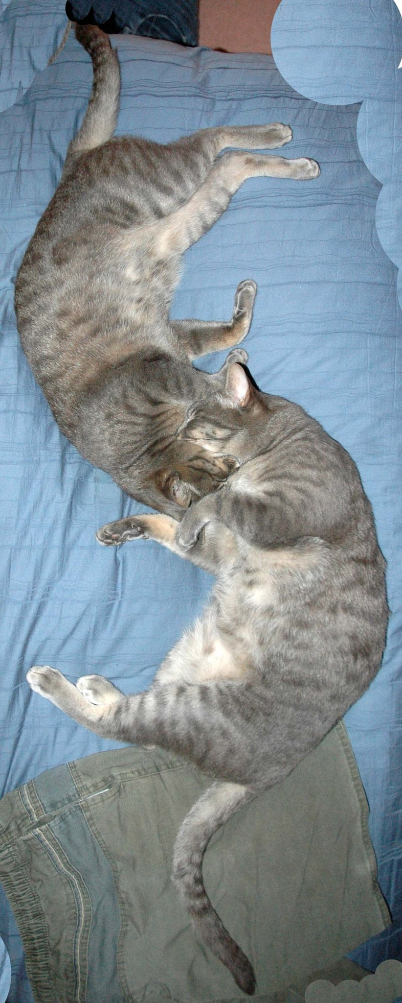 Yin and Yang our cats by Graham Levi
