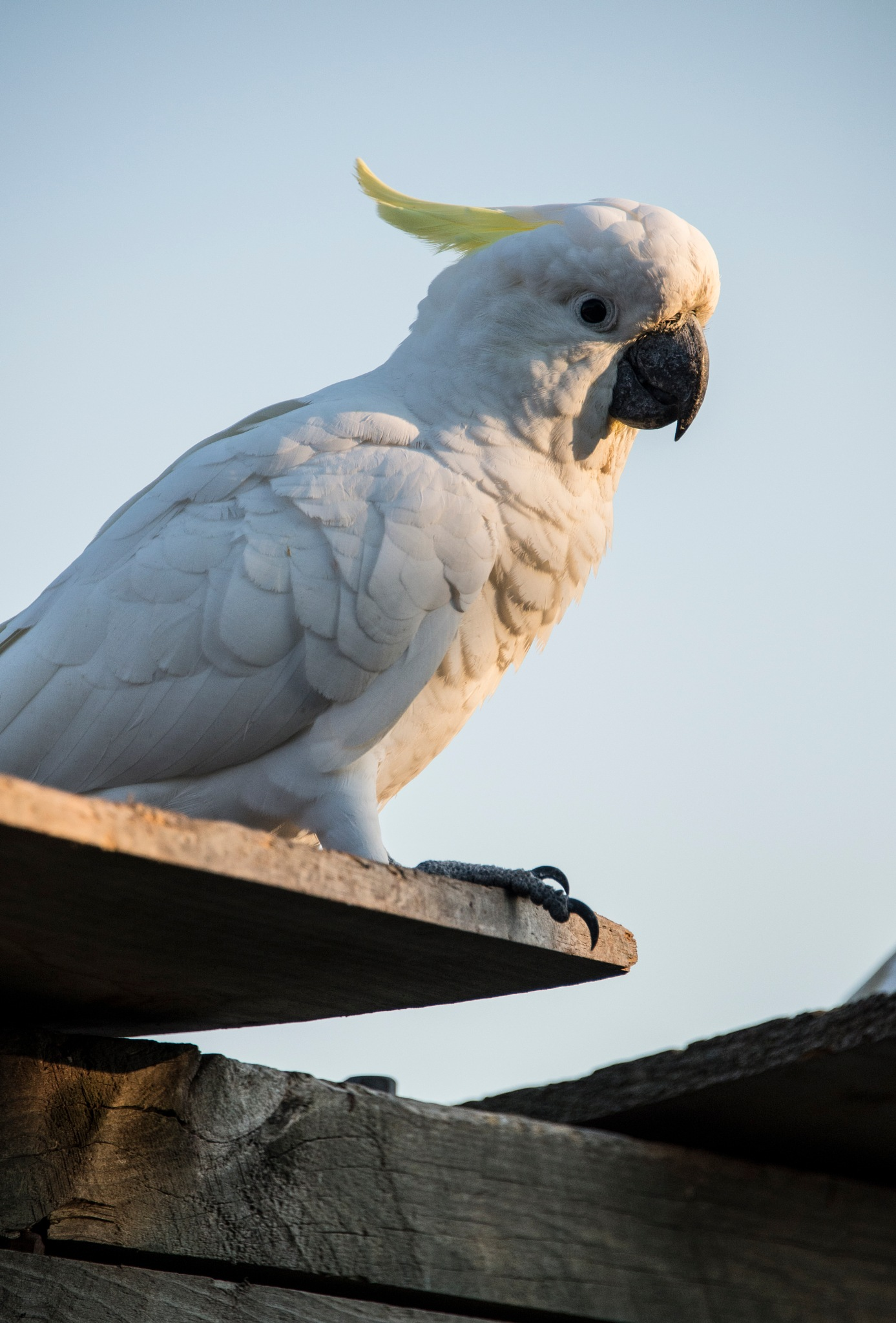 Cockatoo in my Backyard by Graham Levi