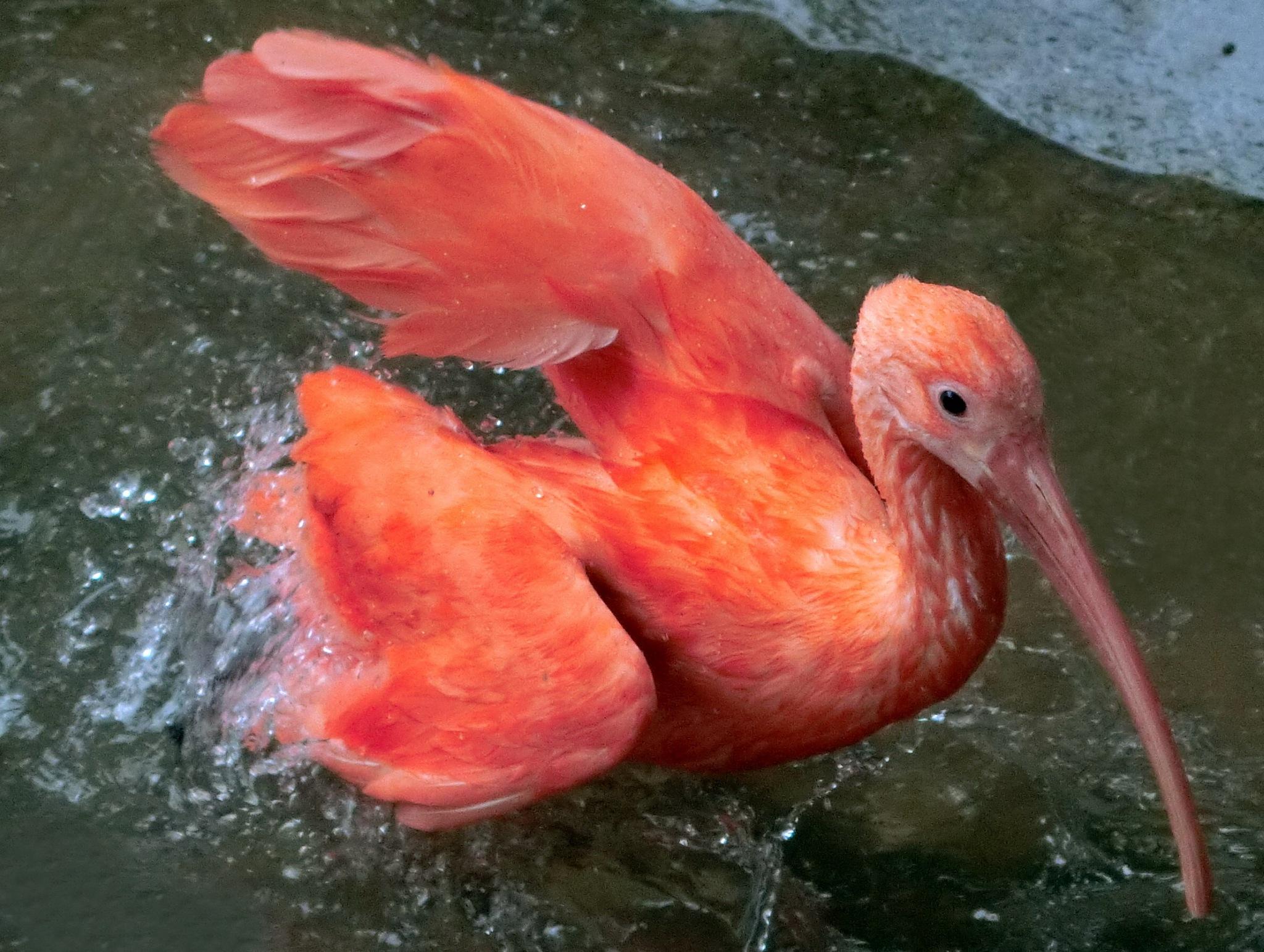 Scarlet Ibis in water-1 by pop88123