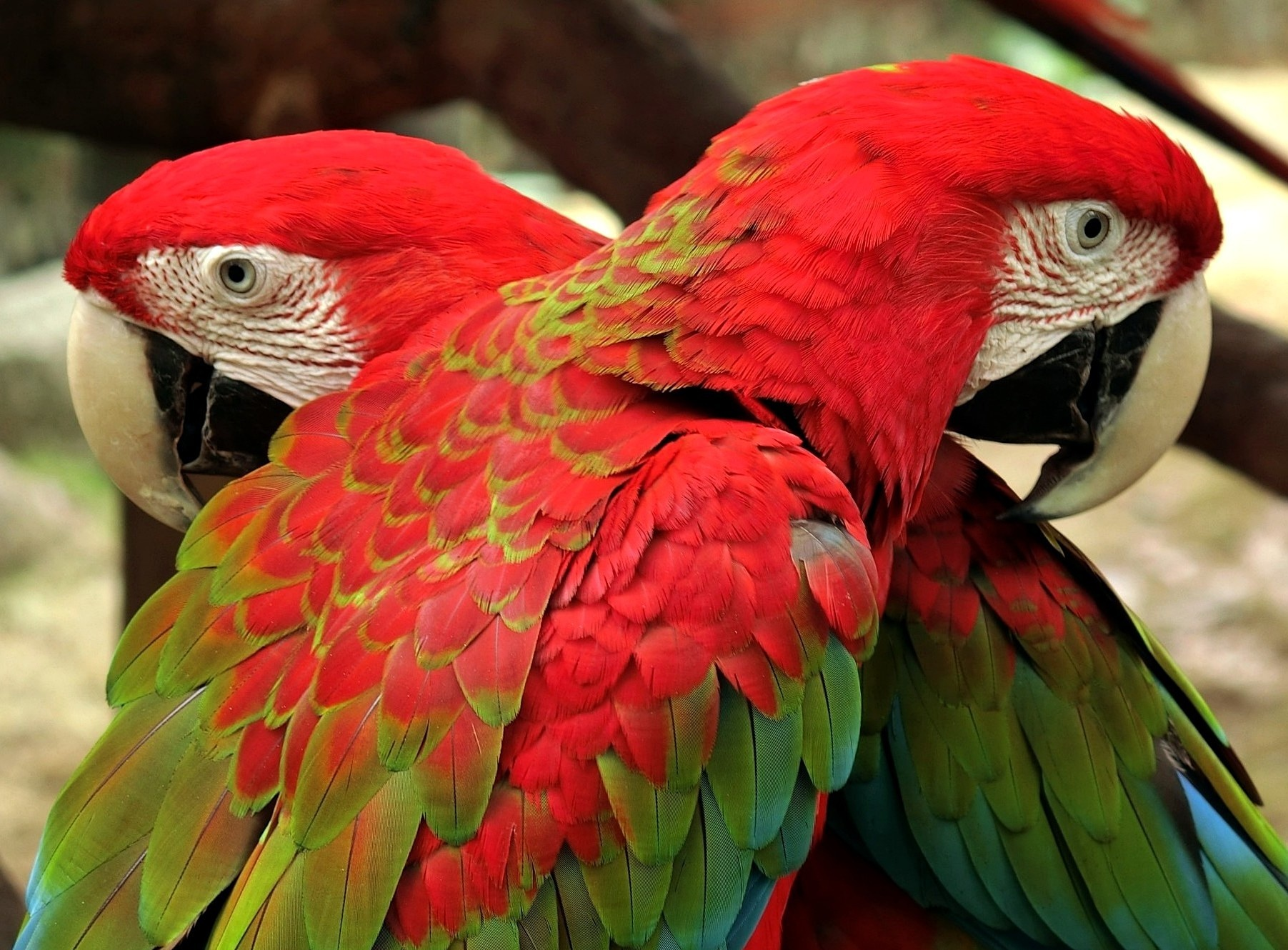 Macaws-1 by pop88123