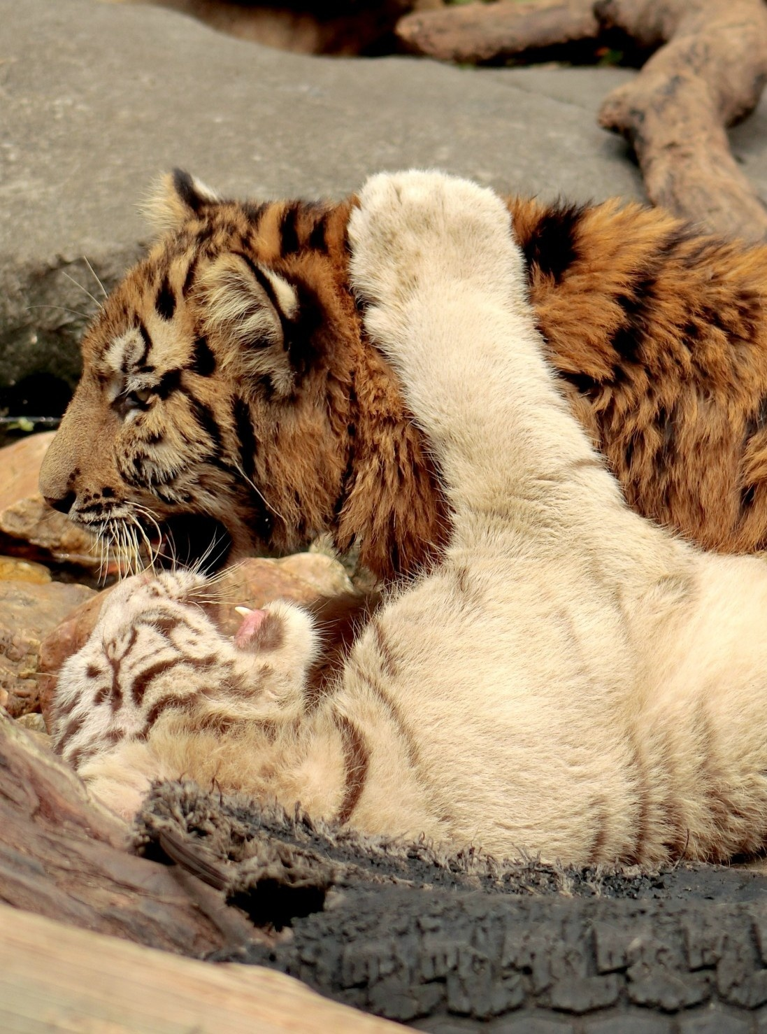 Young Tigers-3 by pop88123