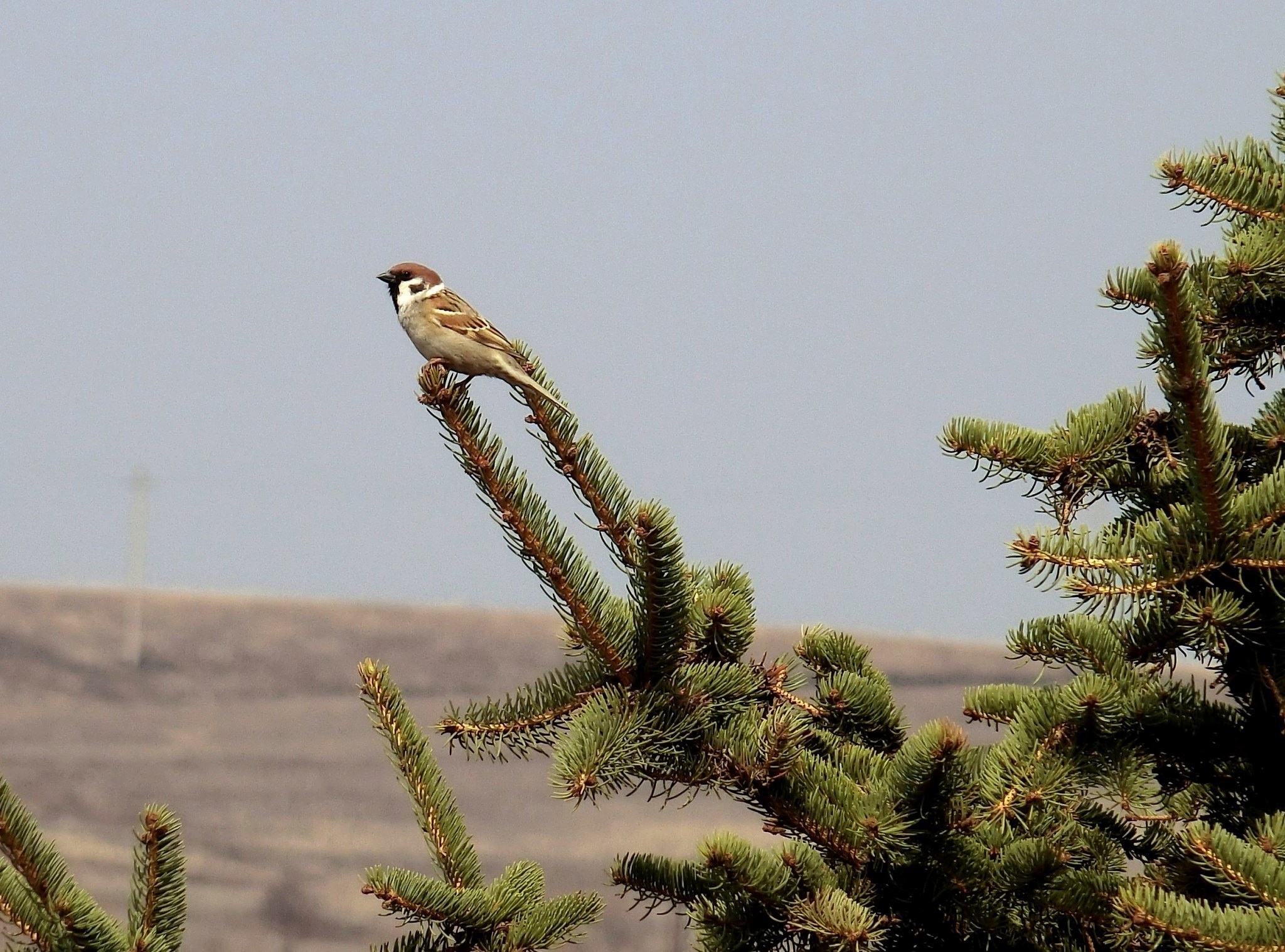 Lone sparrow, NE China countryside by pop88123