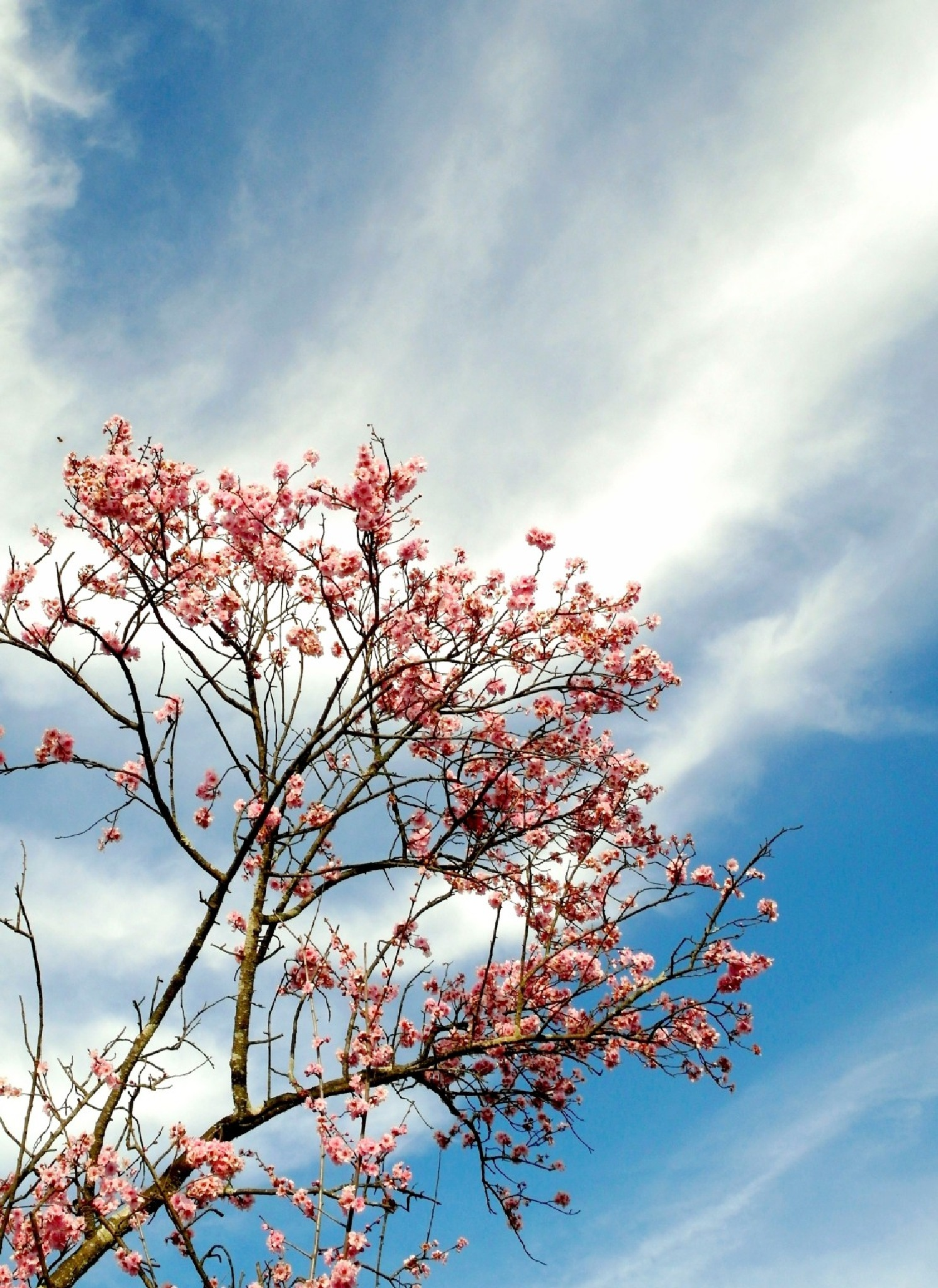 Cherry blossom at Auburn Garden by pop88123