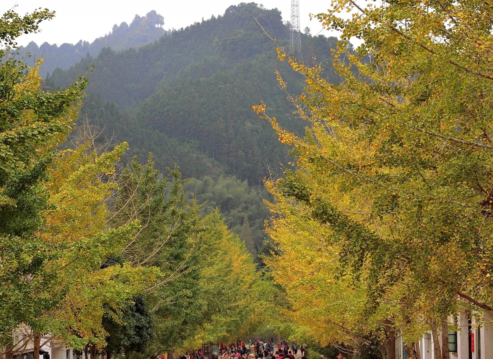 Ginkgo trees, Nanxiong, Shaoguan by pop88123