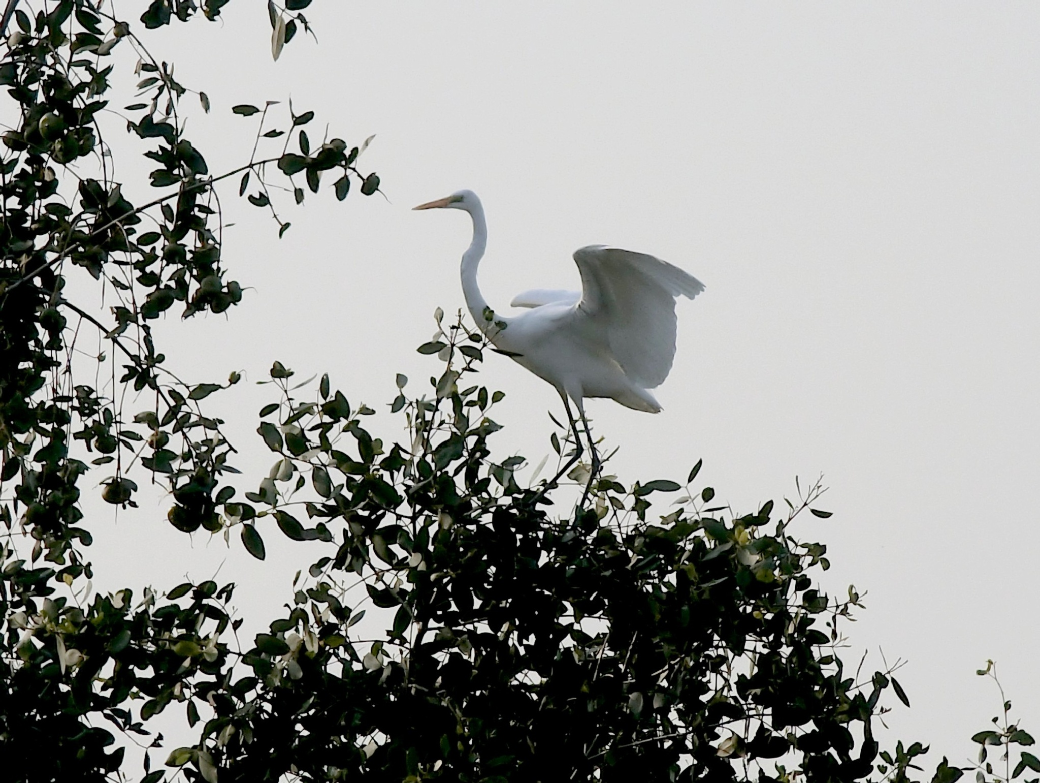 Egret at Nam Sang Wai by pop88123