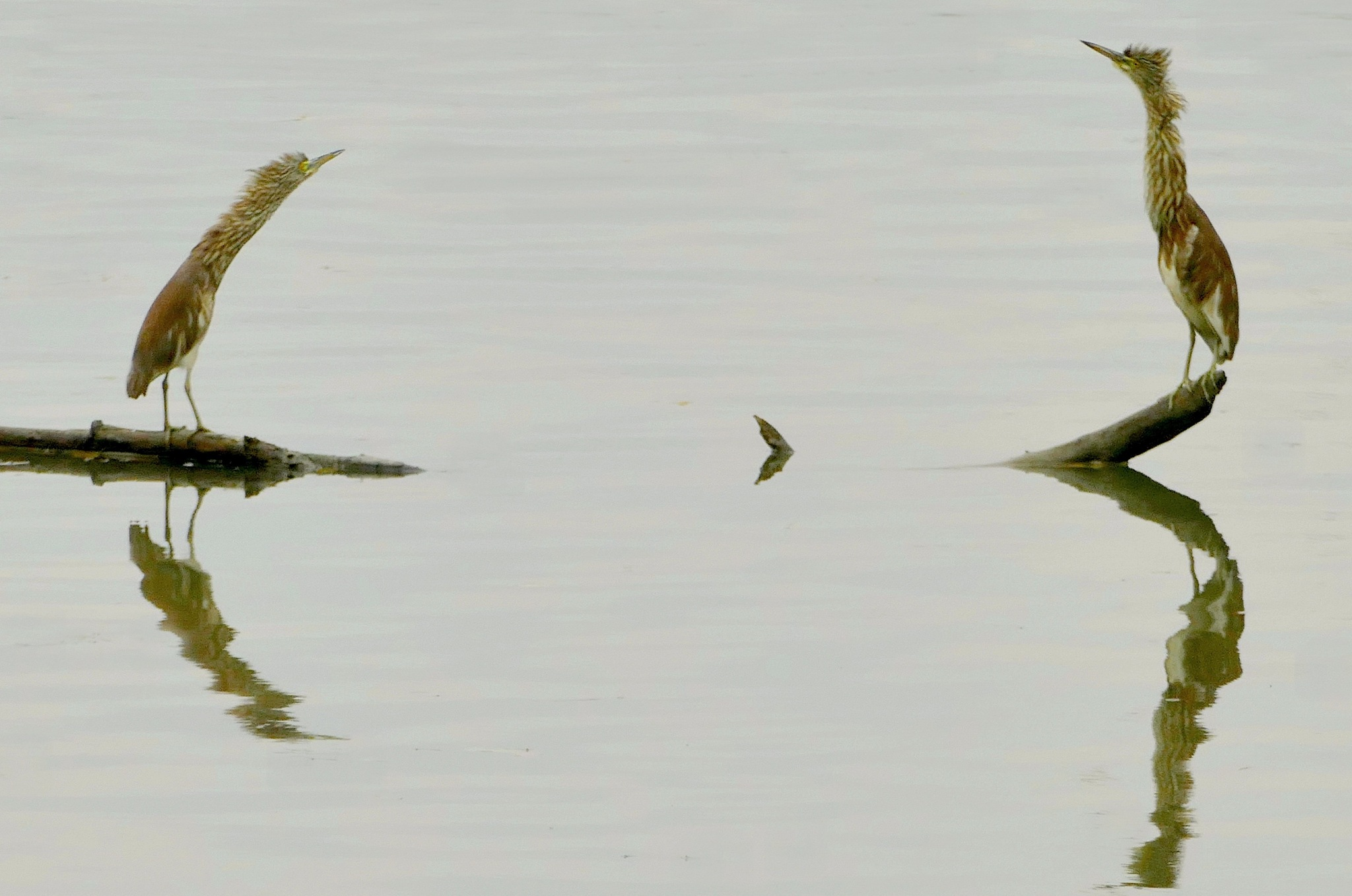 Chinese Pond Herons stretching necks by pop88123