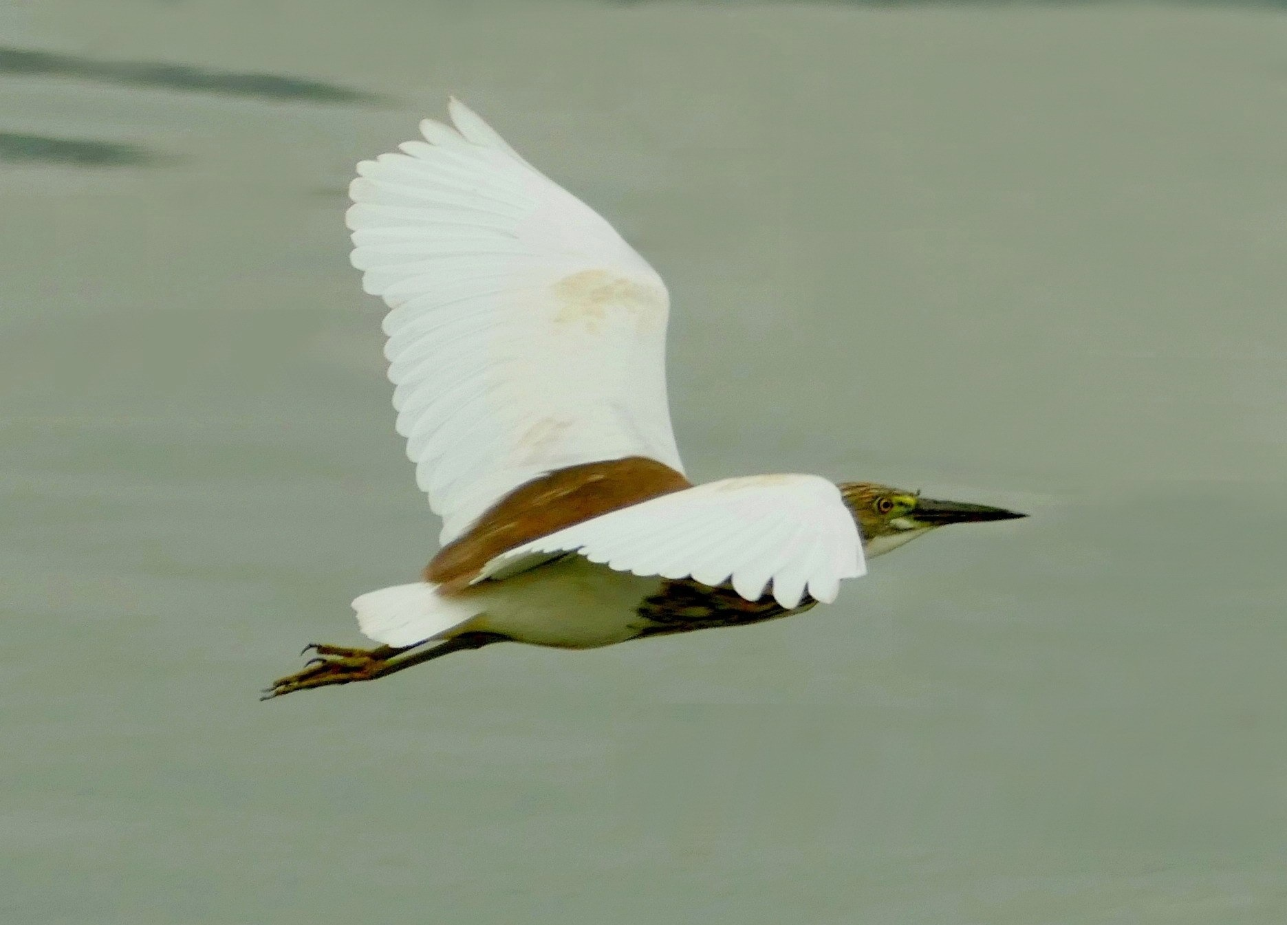 Chinese pond heron in the air by pop88123