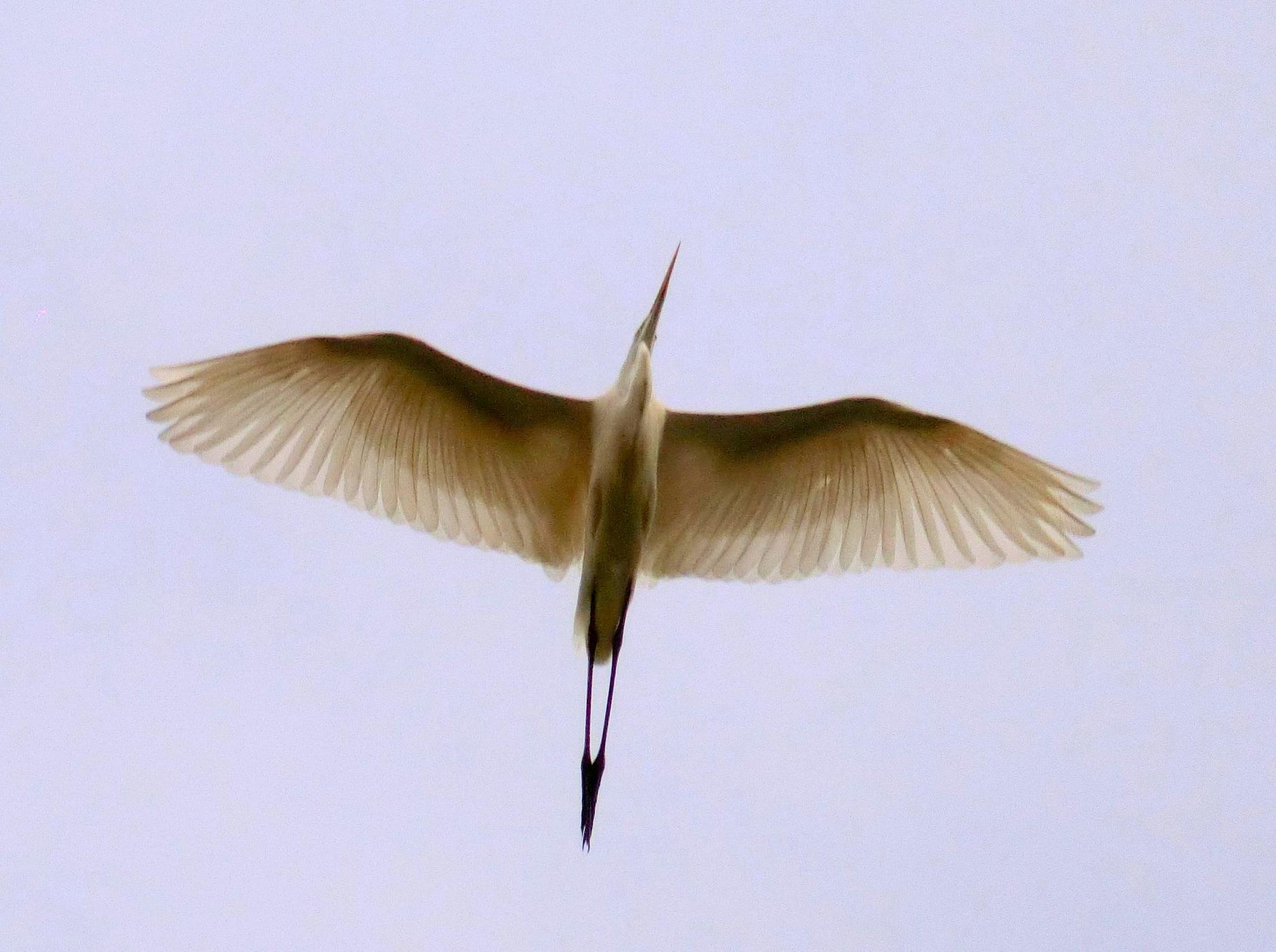 Flying Great Egret by pop88123