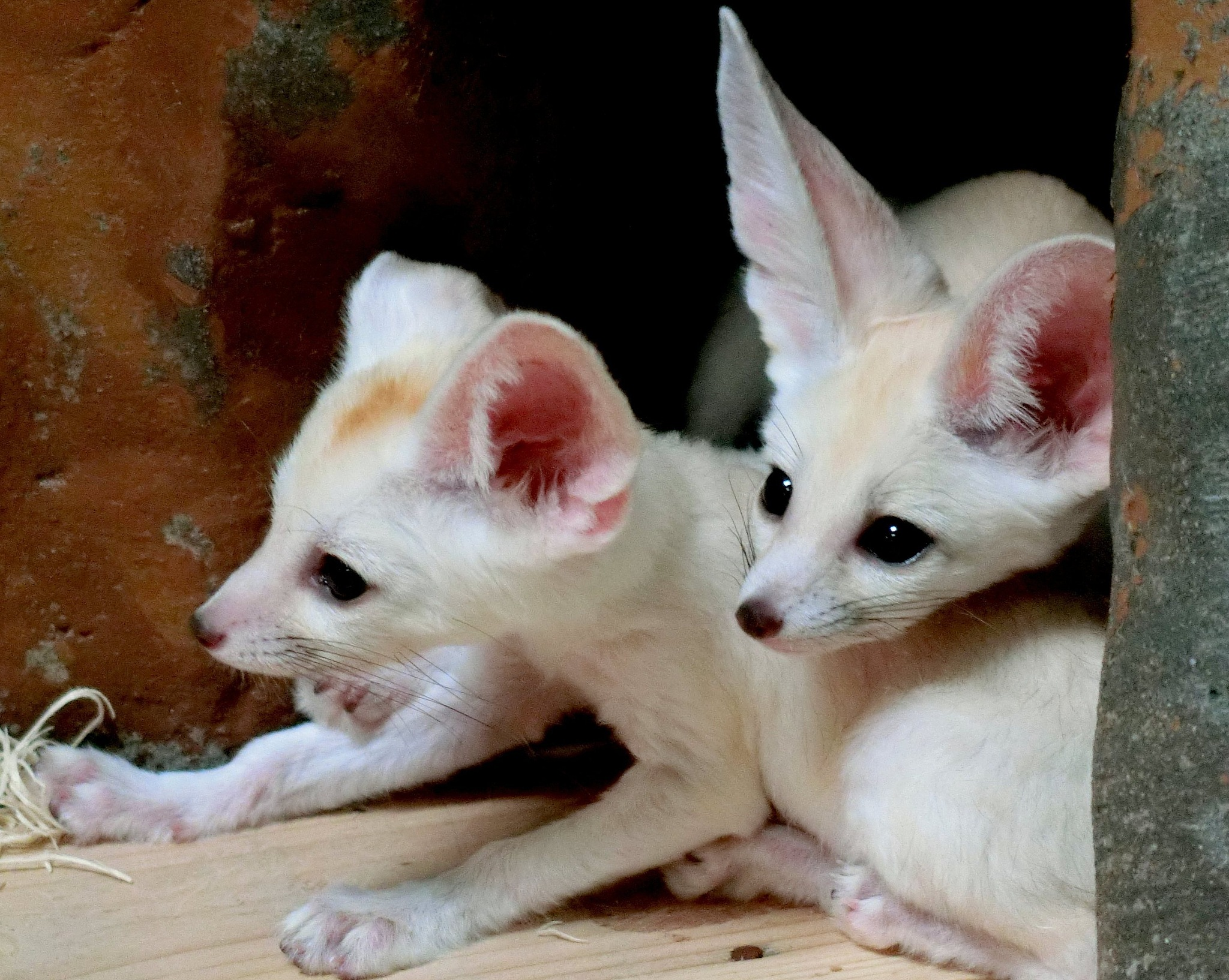 Young Fennec Foxes by pop88123