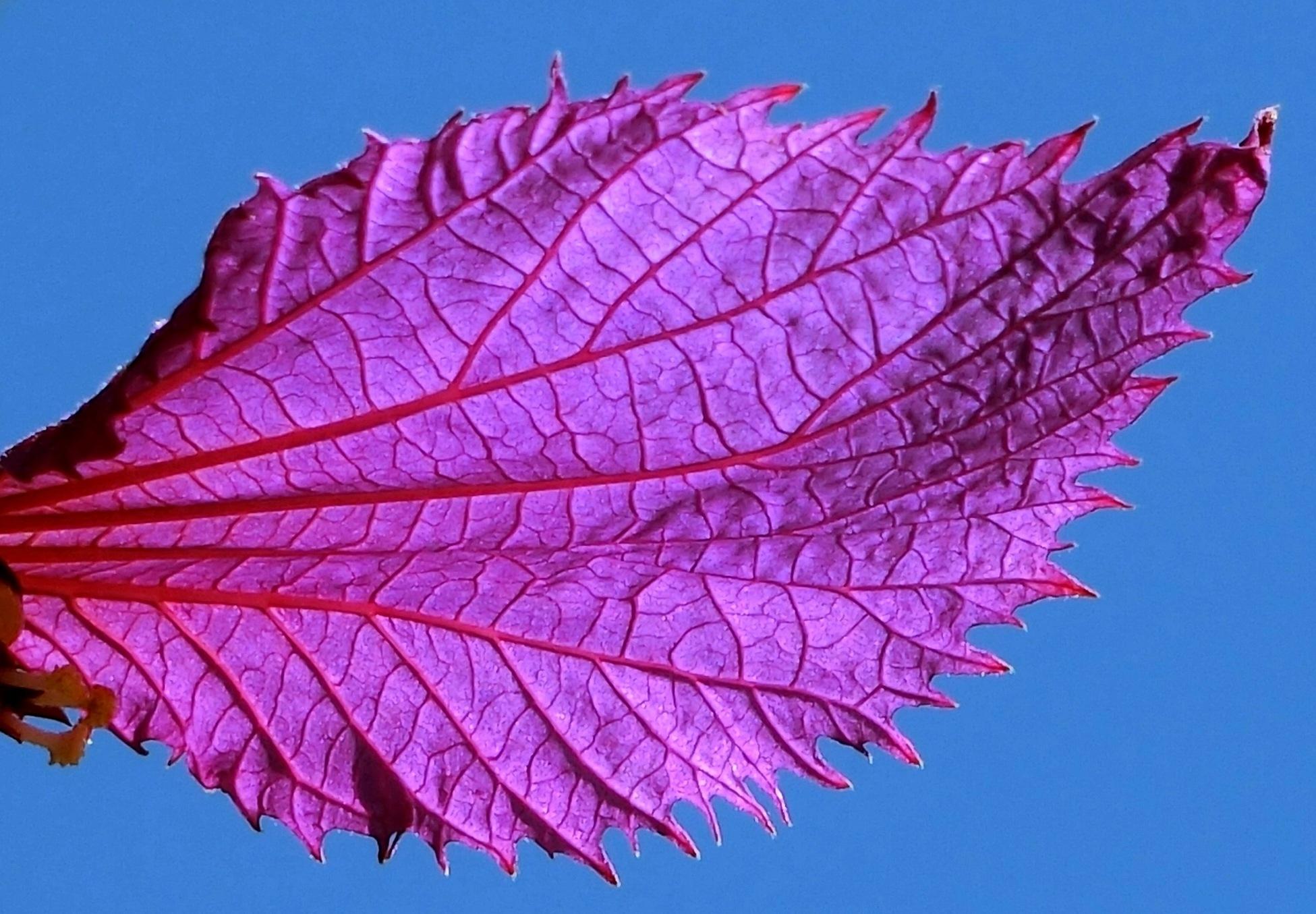 Purple leaf by pop88123