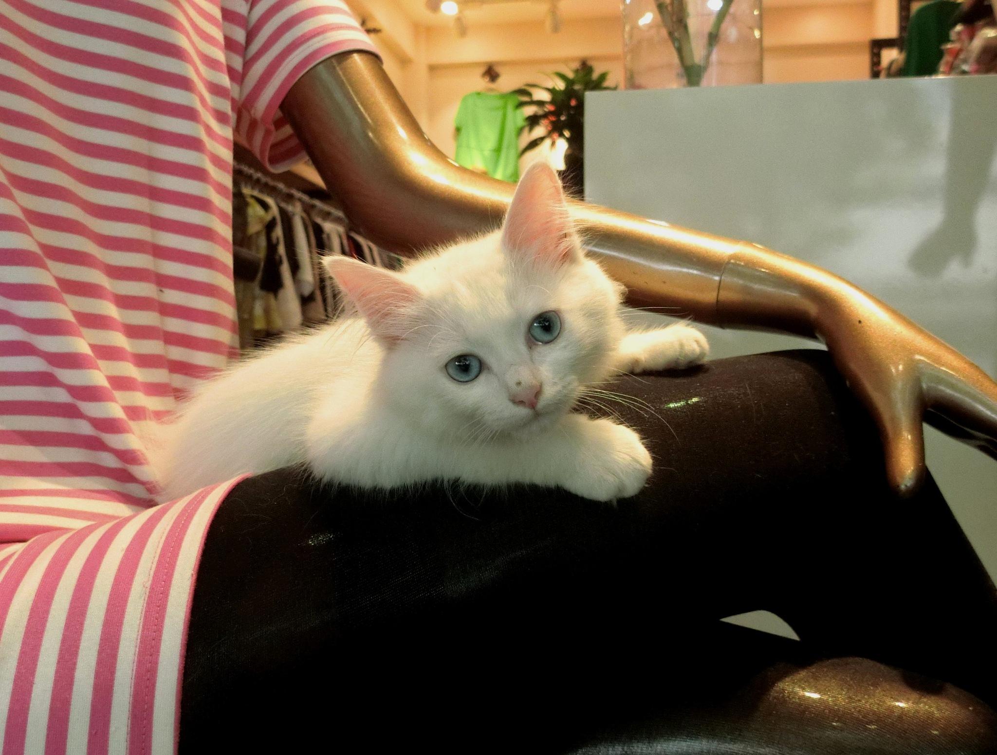 Shanghai cat by pop88123