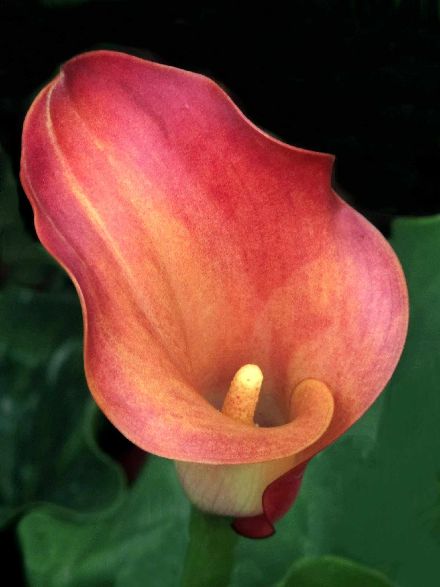 Calla Lily by pop88123