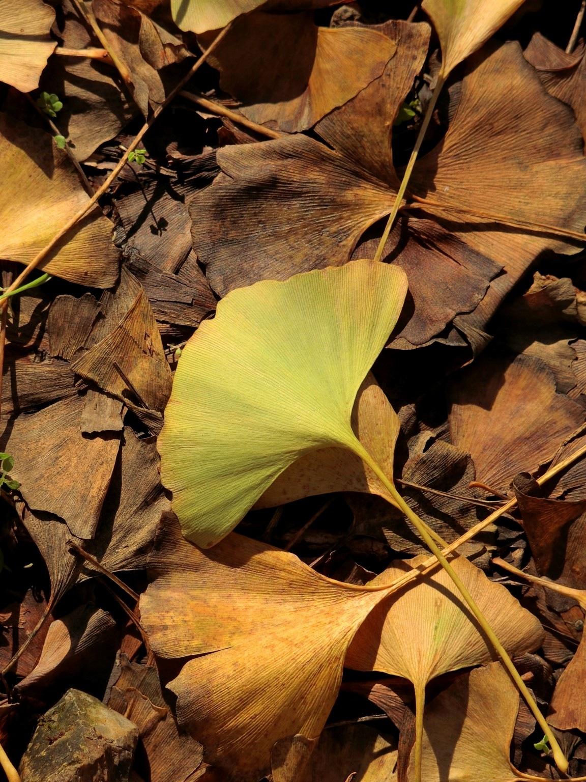 Ginkgo leaves-1 by pop88123