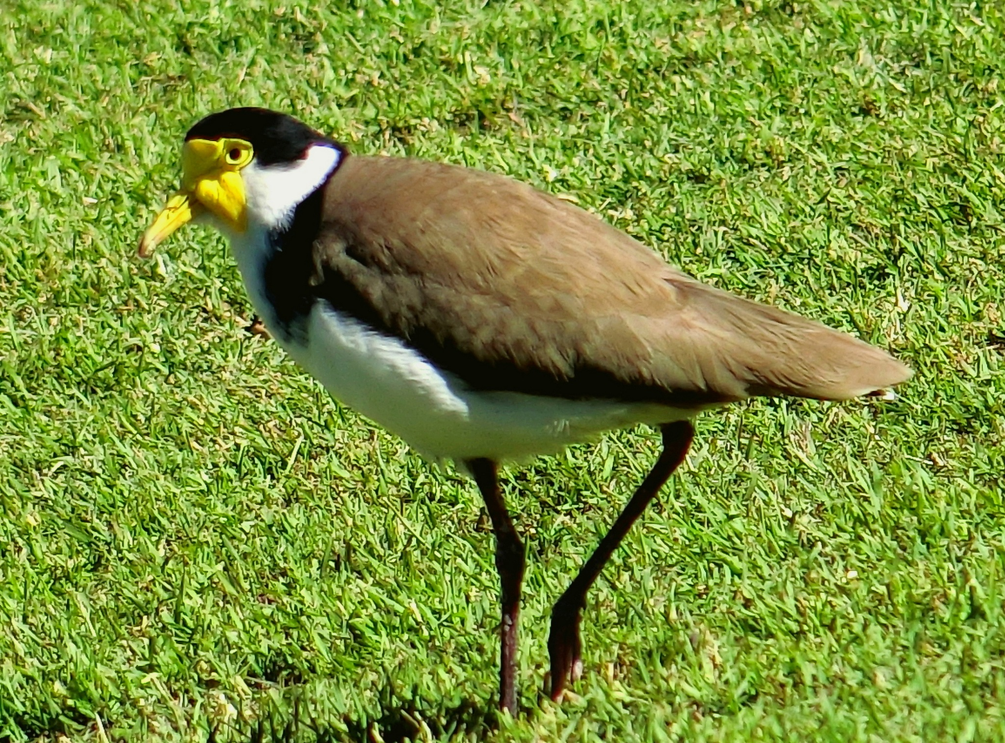 Yellow Face Spur Winged Plover by pop88123