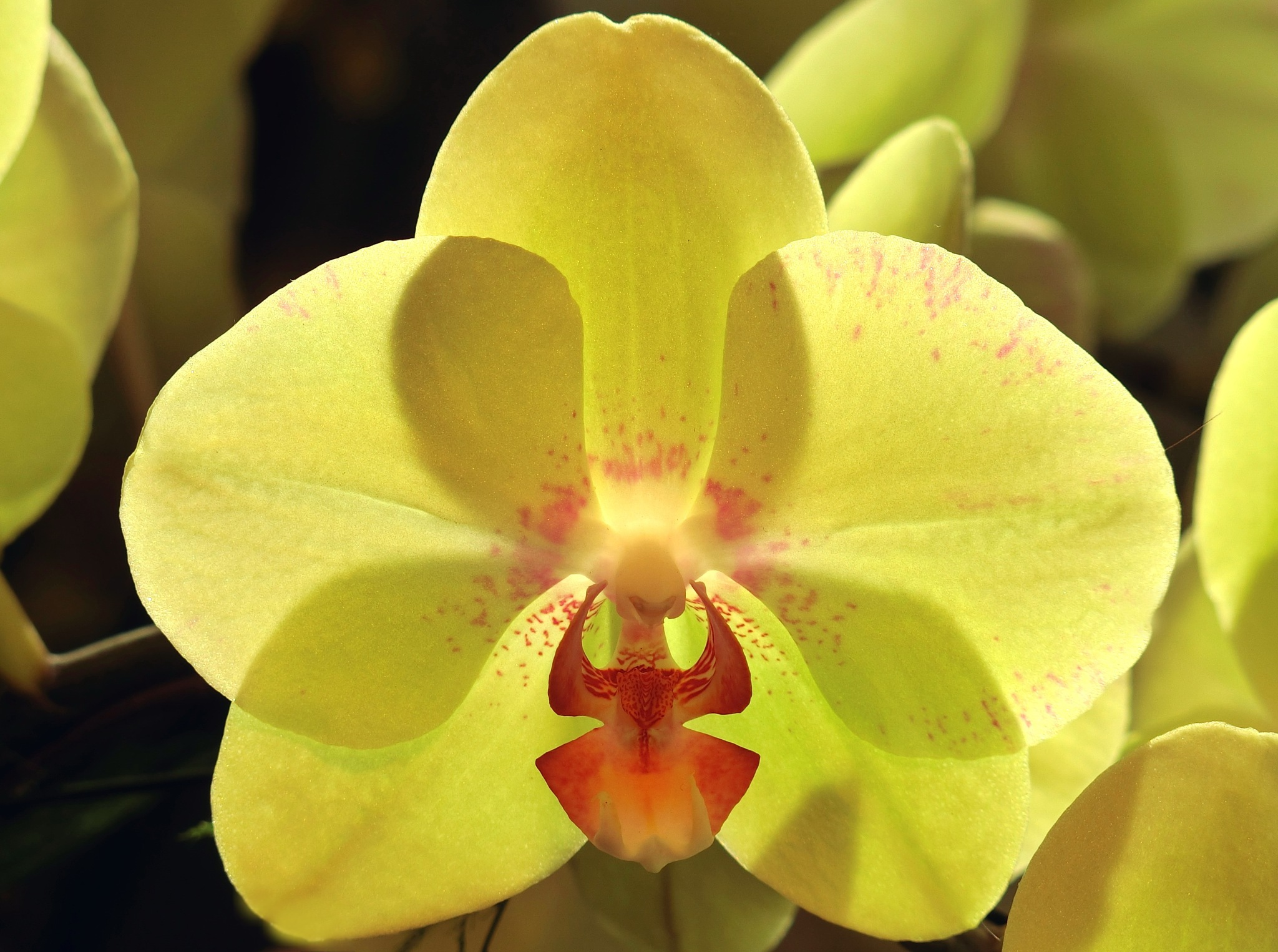 Yellow Orchid by pop88123