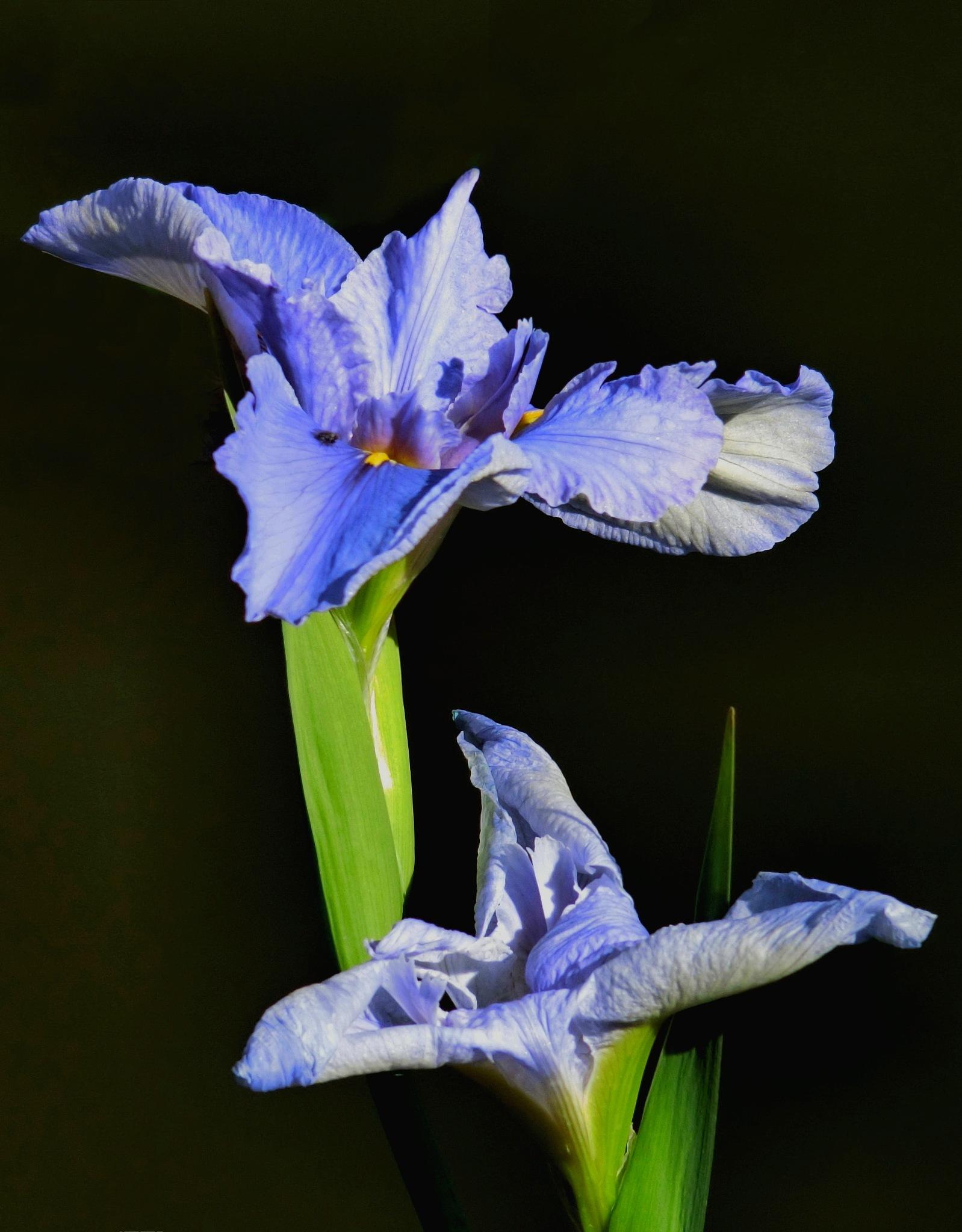 Iris by pop88123