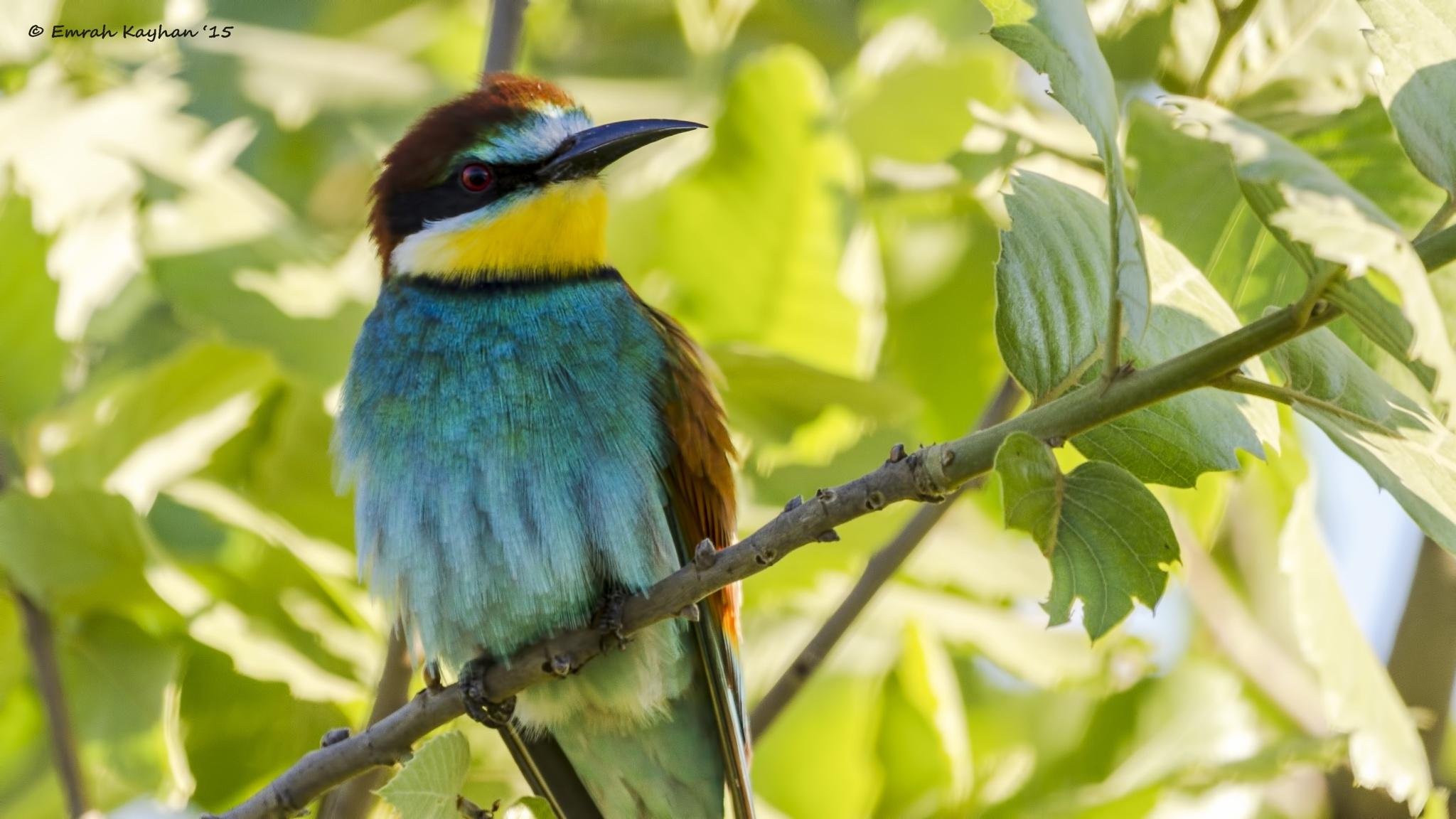 European Bee-eater by EmrahKayhan