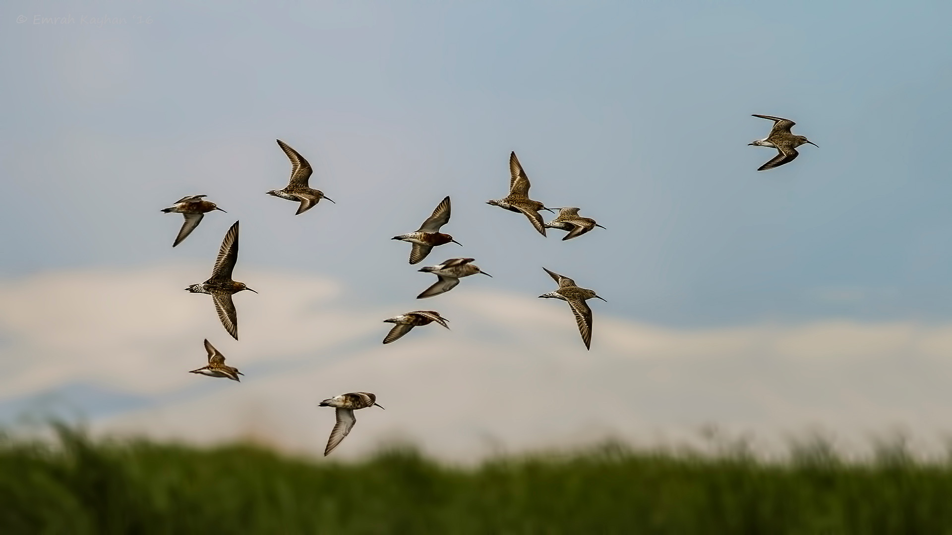 Curlew sandpiper by EmrahKayhan