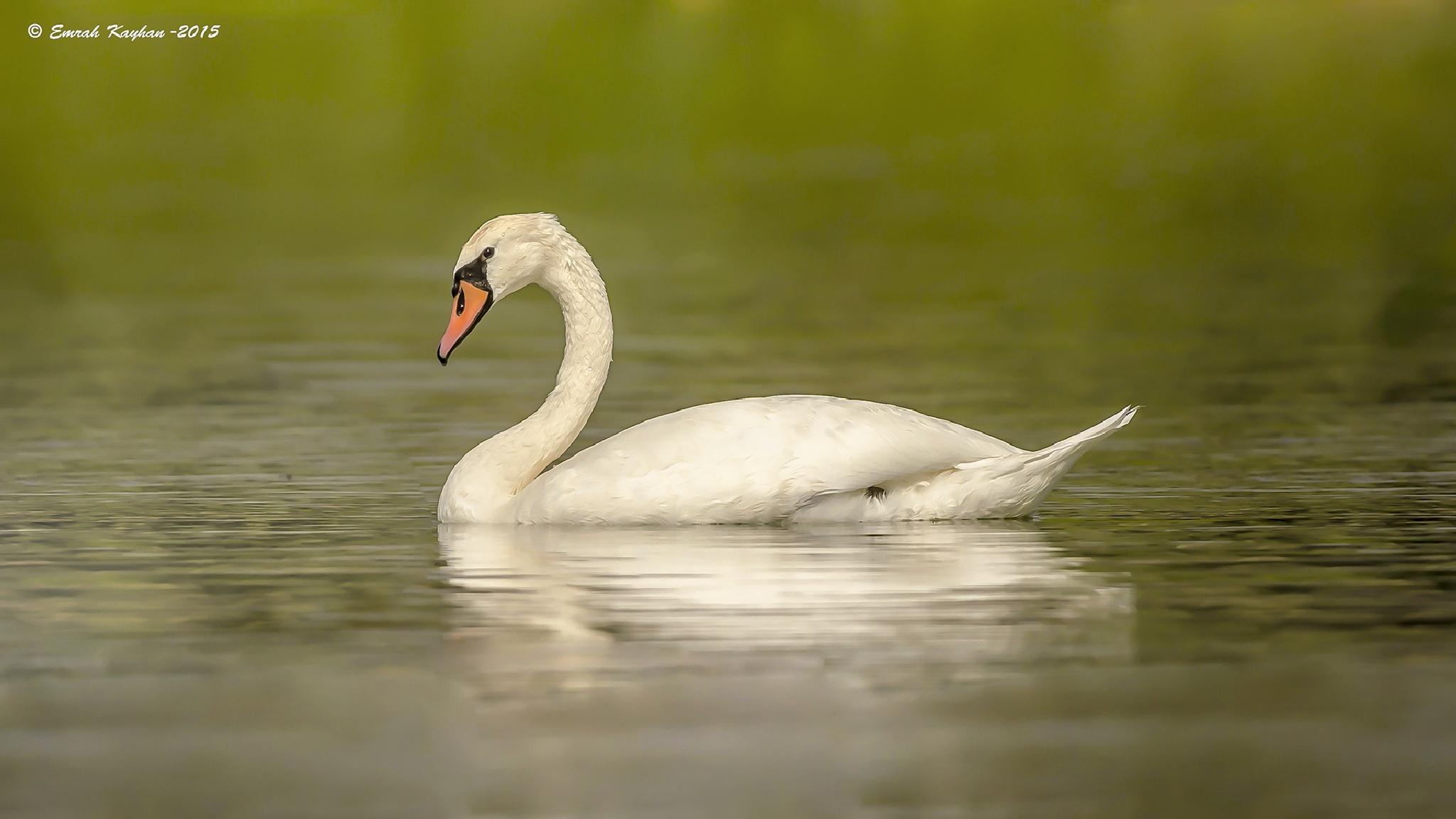Mute Swan by EmrahKayhan