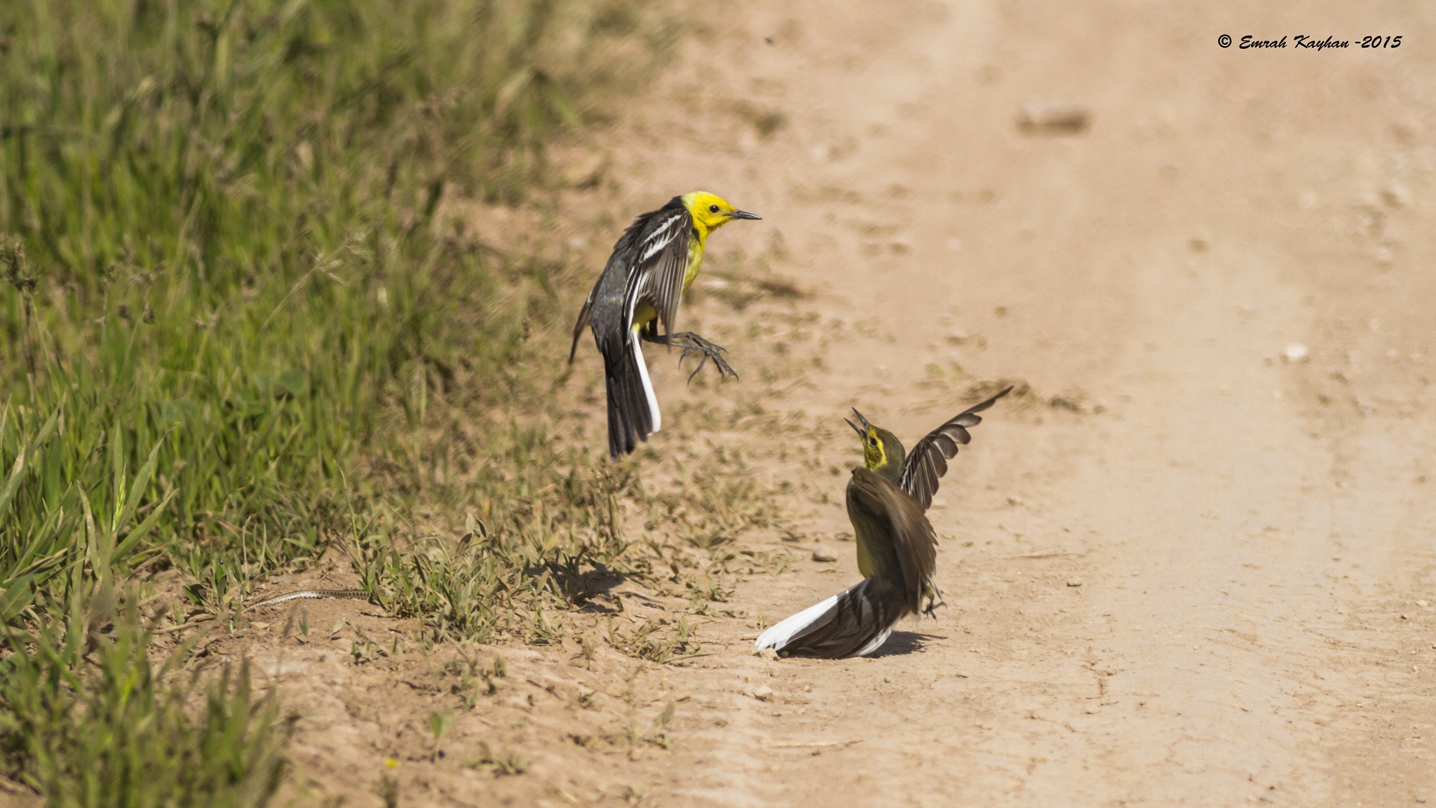 Citrine Wagtail  by EmrahKayhan