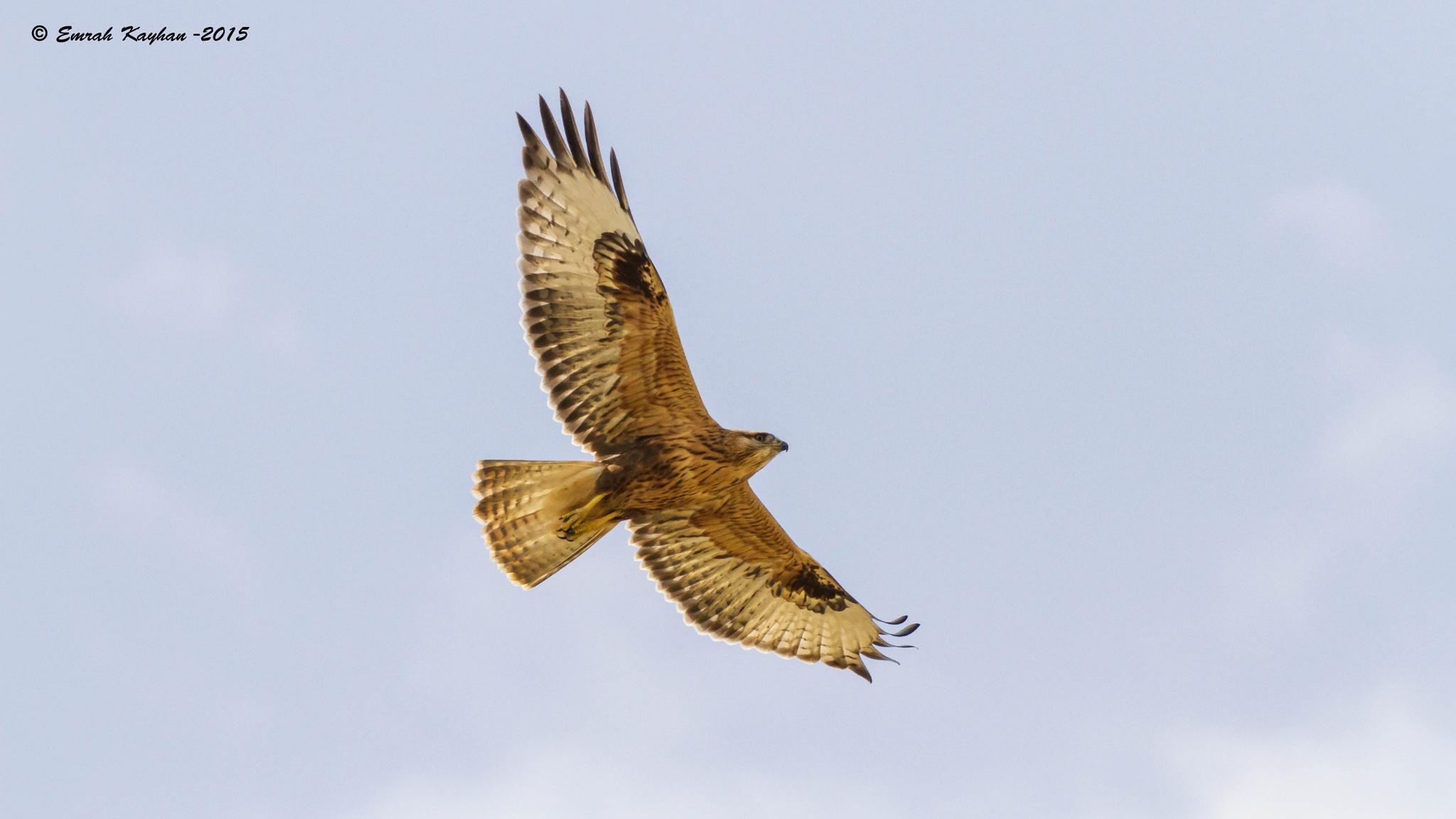 Long-legged Buzzard by EmrahKayhan